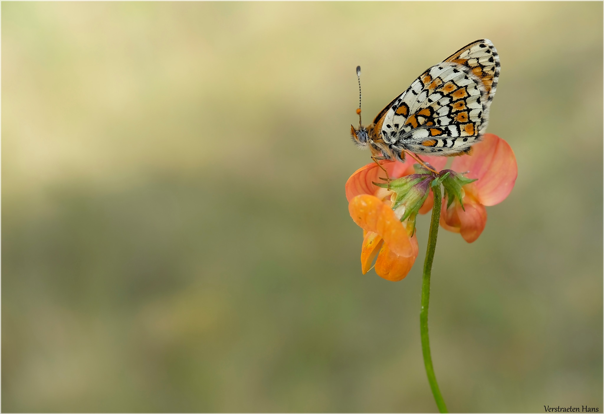 Veldparelmoervlinder (Melitaea cinxia) by zard319