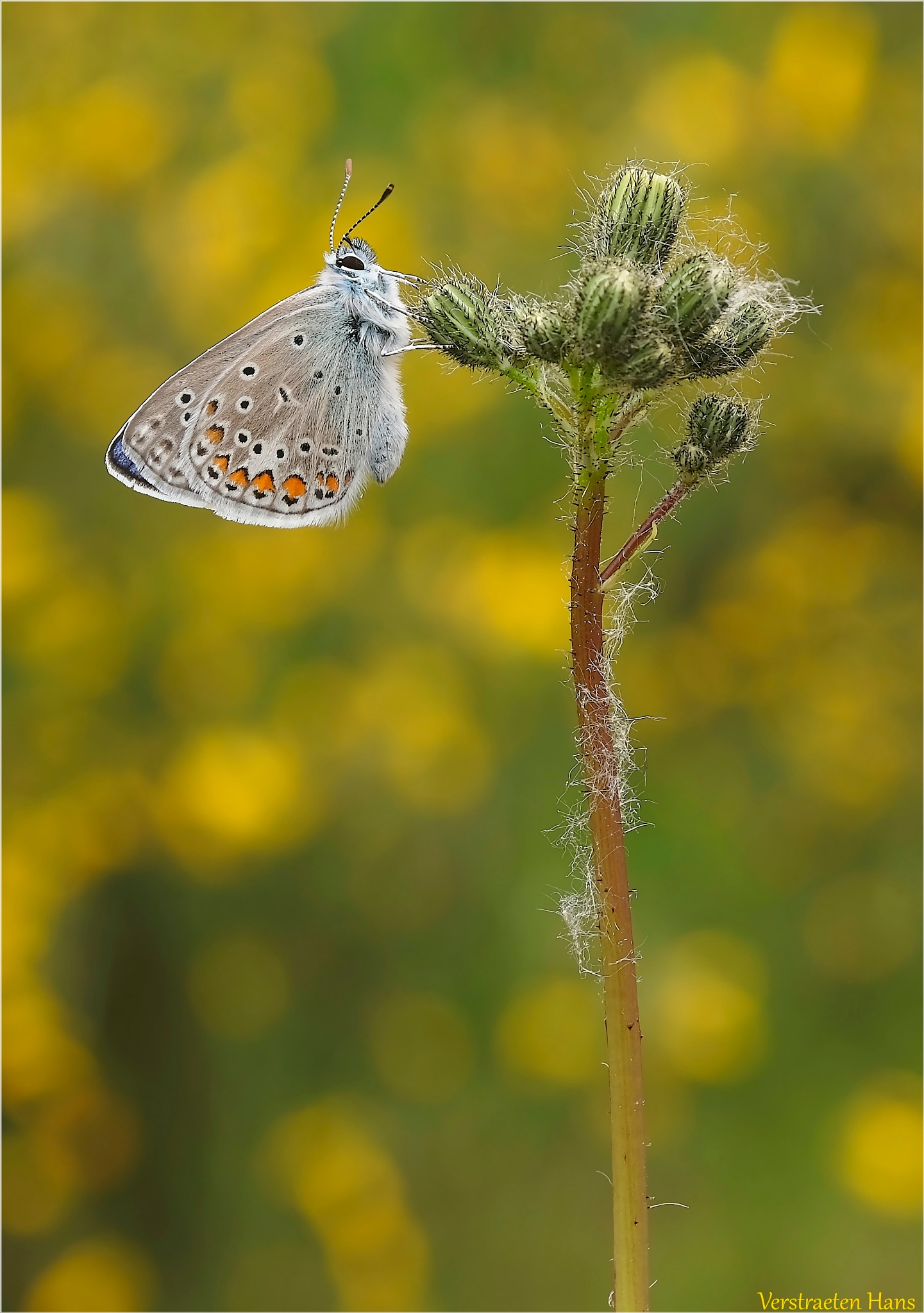 Icarusblauwtje - Polyommatus icarus by zard319