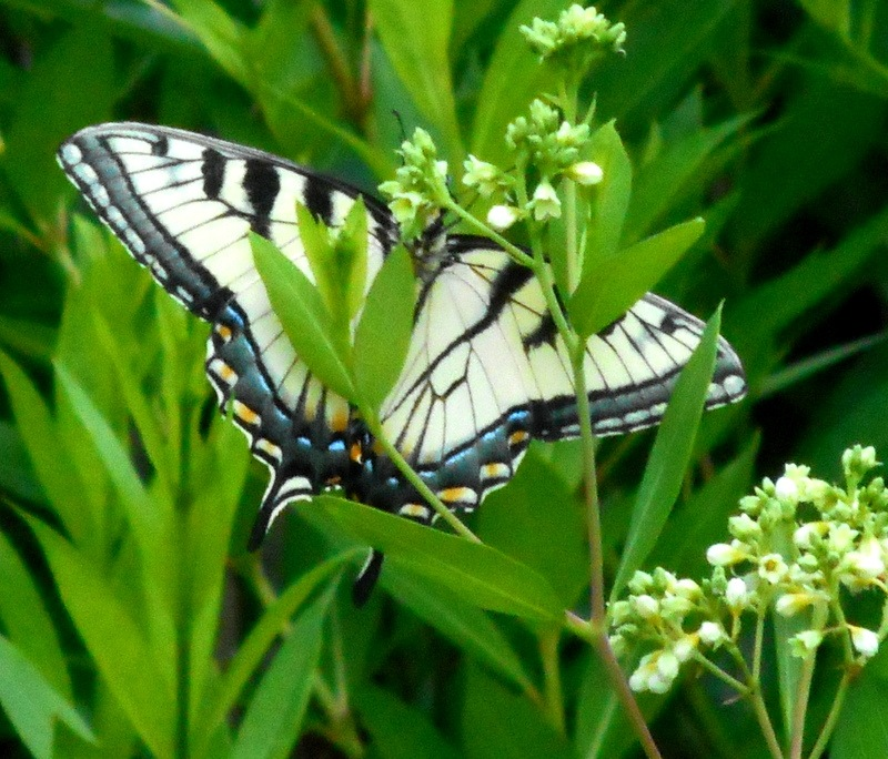 Two-tailed Swallowtail by Munica