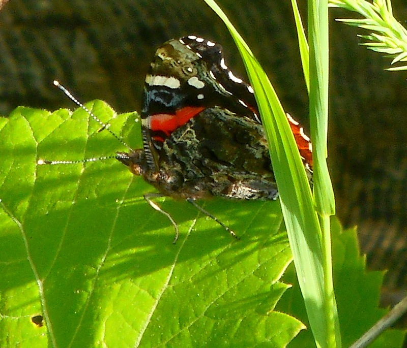 Red Admiral Butterfly by Munica