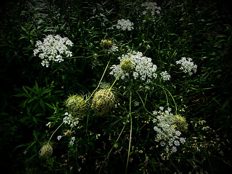 Queen Anne's Lace by Munica