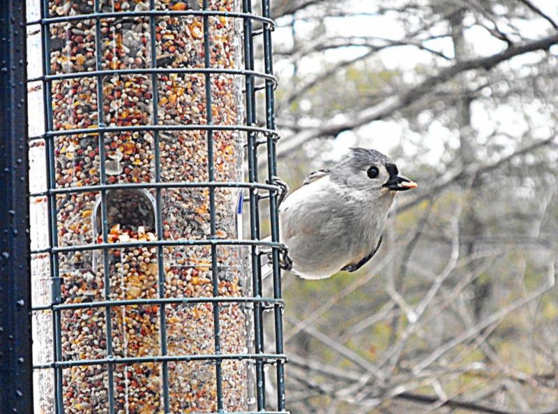 South Burlington birds: Tufted Titmouse by Munica