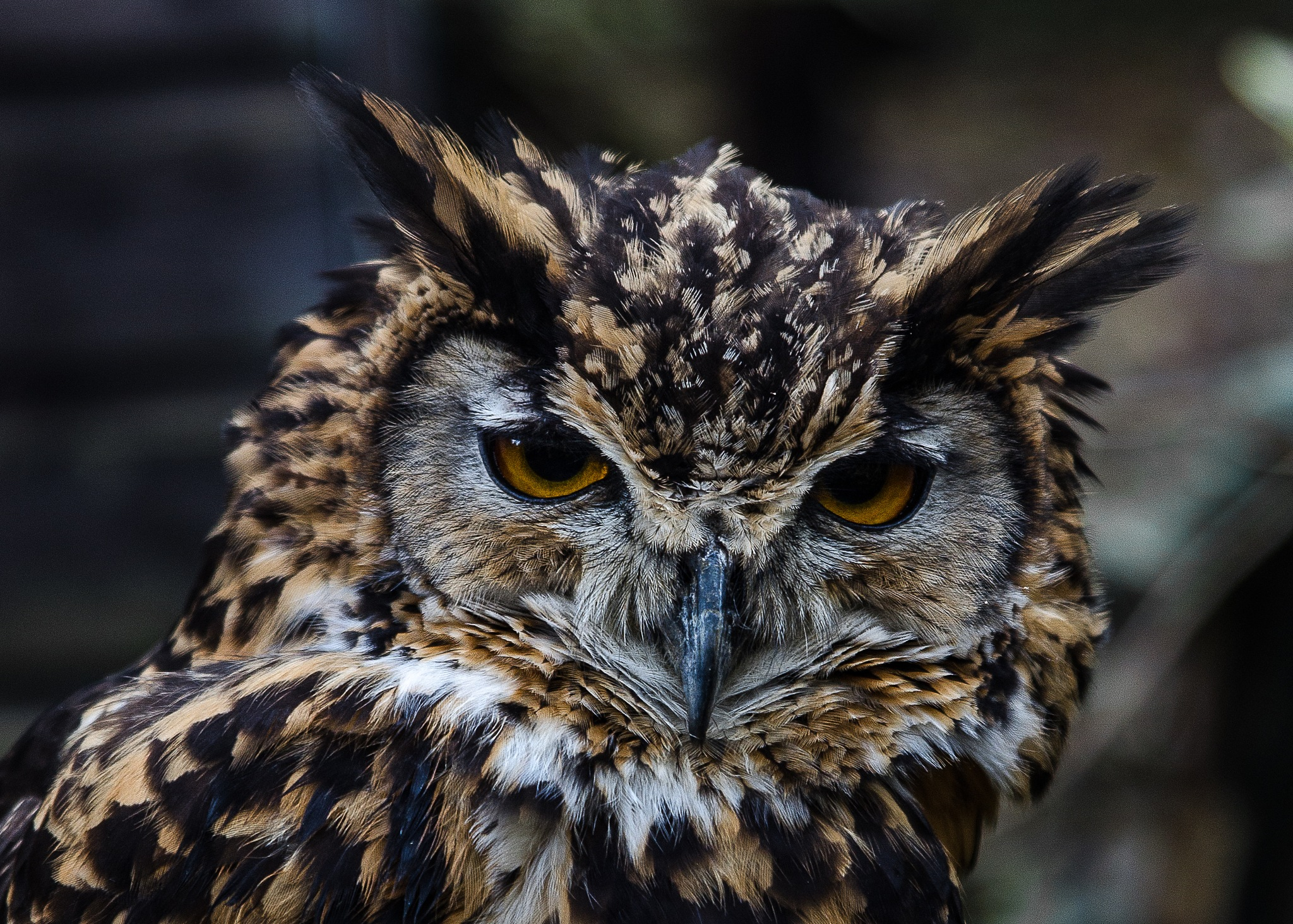 Eagle owl by D Whitehead
