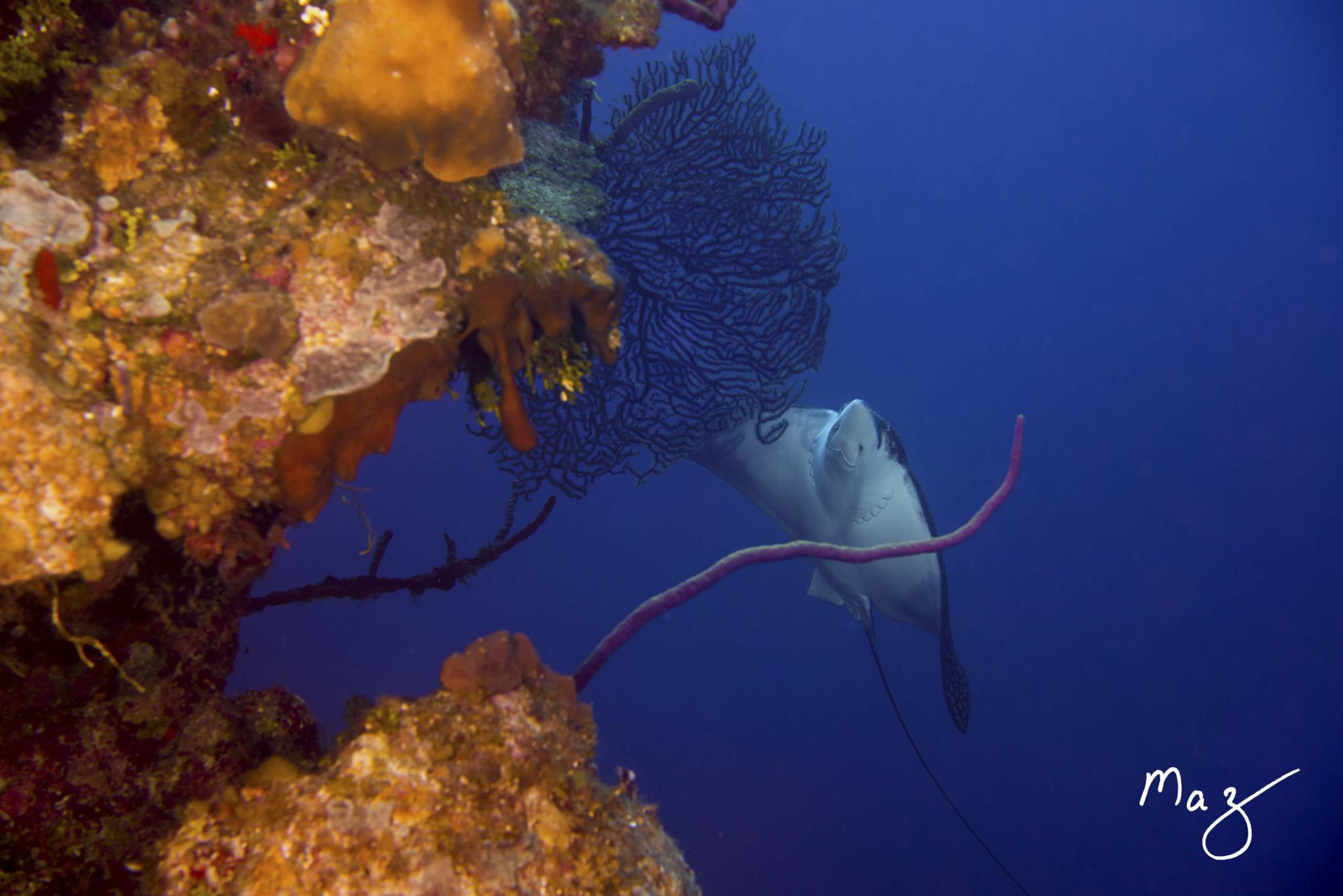 Spotted Eagle Ray by Maz Zabaneh
