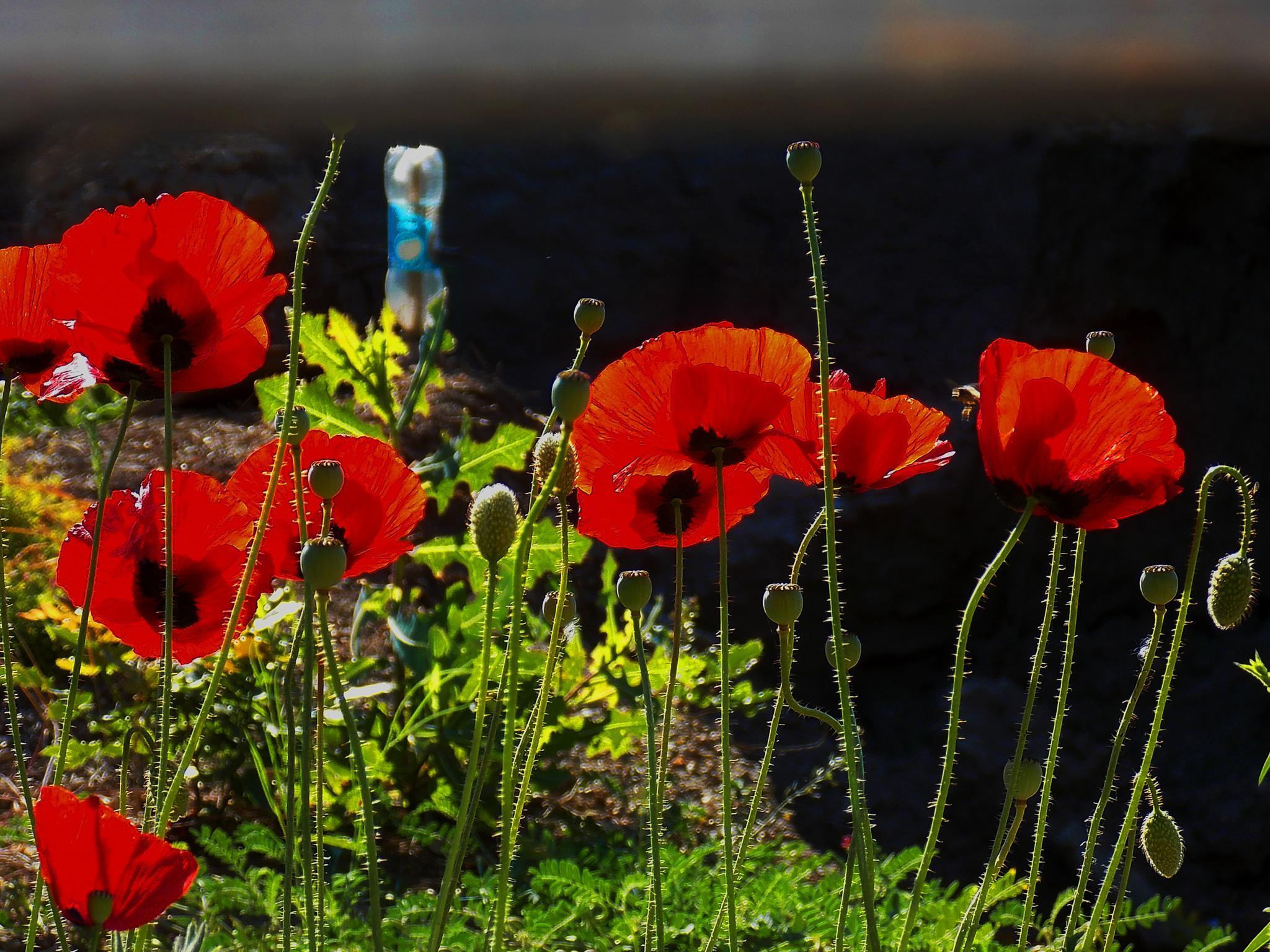 тутенки / red poppies by vlado žura