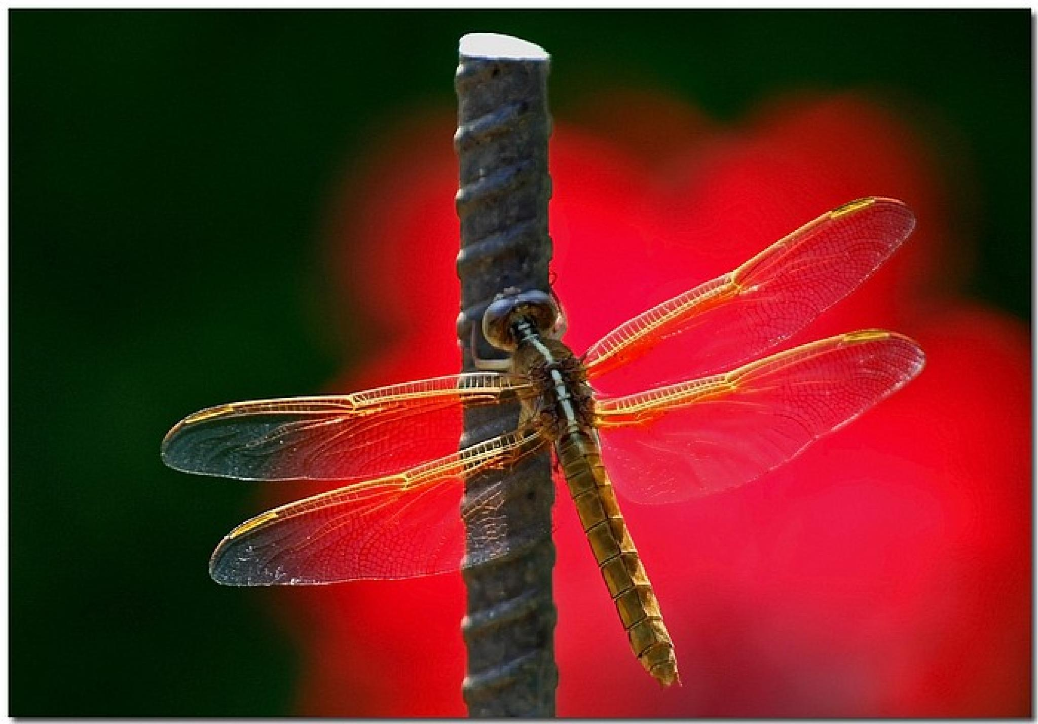 Dragonfly On Rebar by king.chester0