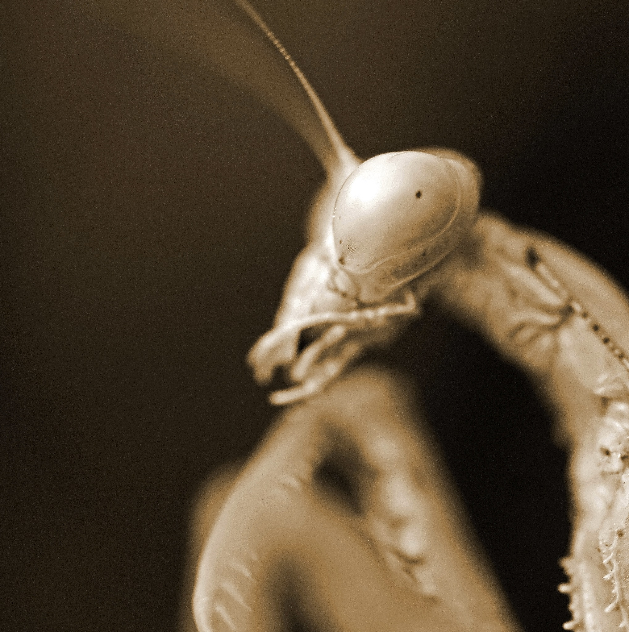 Sepia Mantis by king.chester0