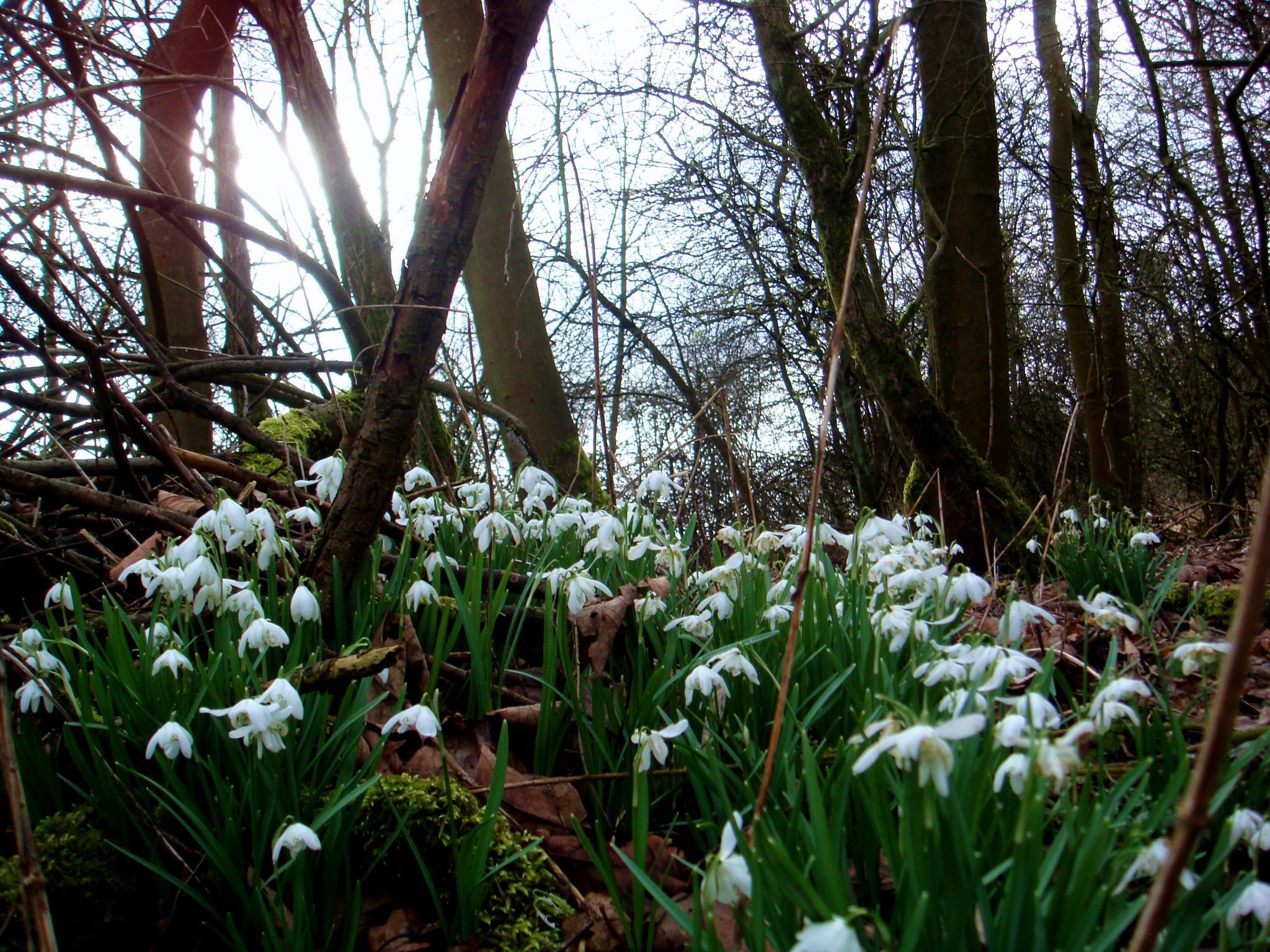 Snowdrops by William O'Mahony