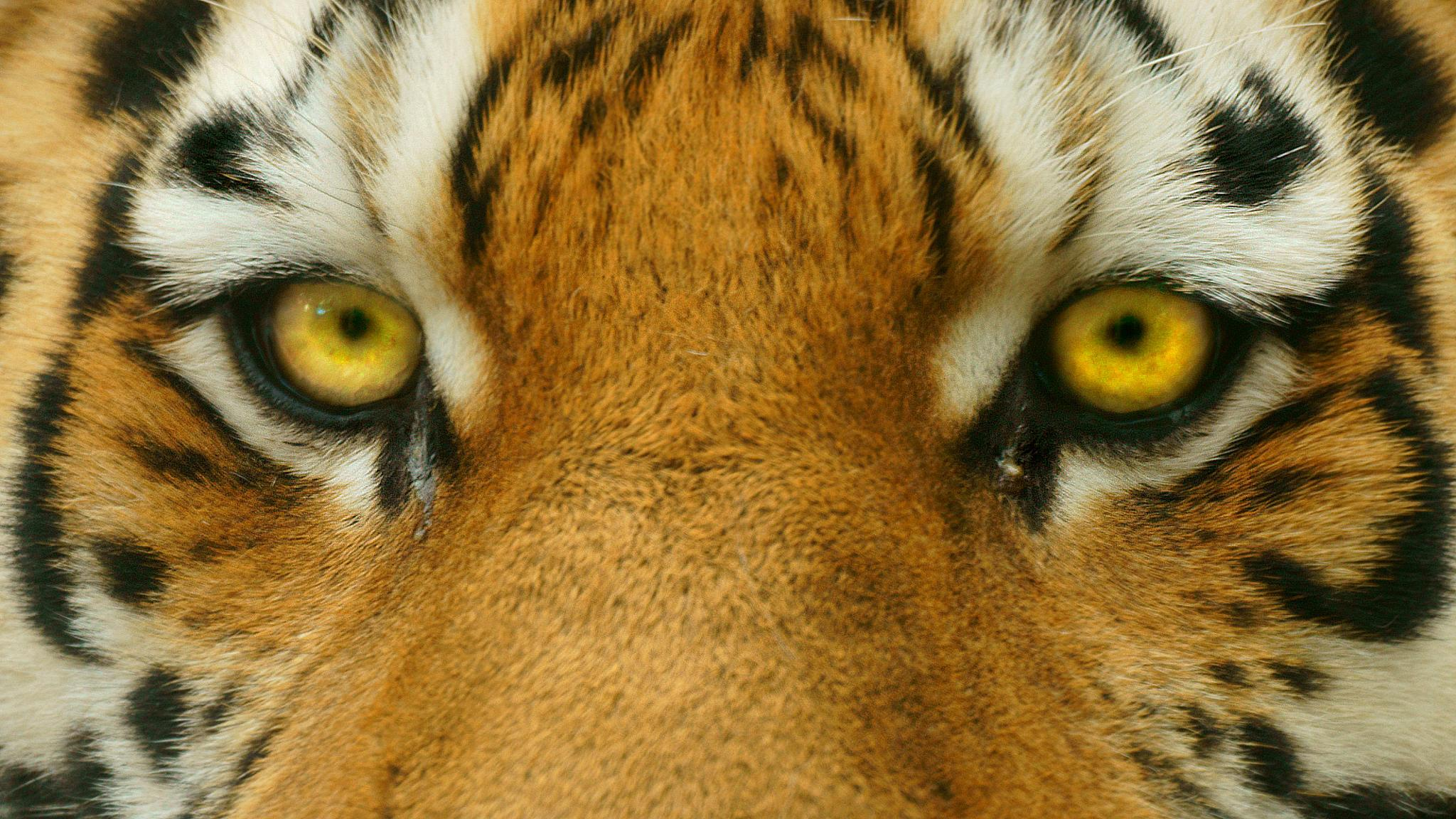 The Eyes of the Tiger by Matt H. Imaging