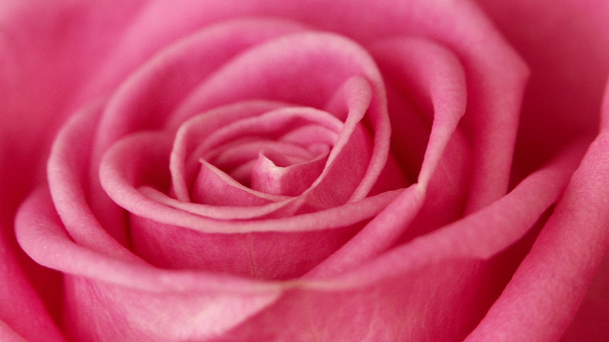 Rose rose by Matt H. Imaging