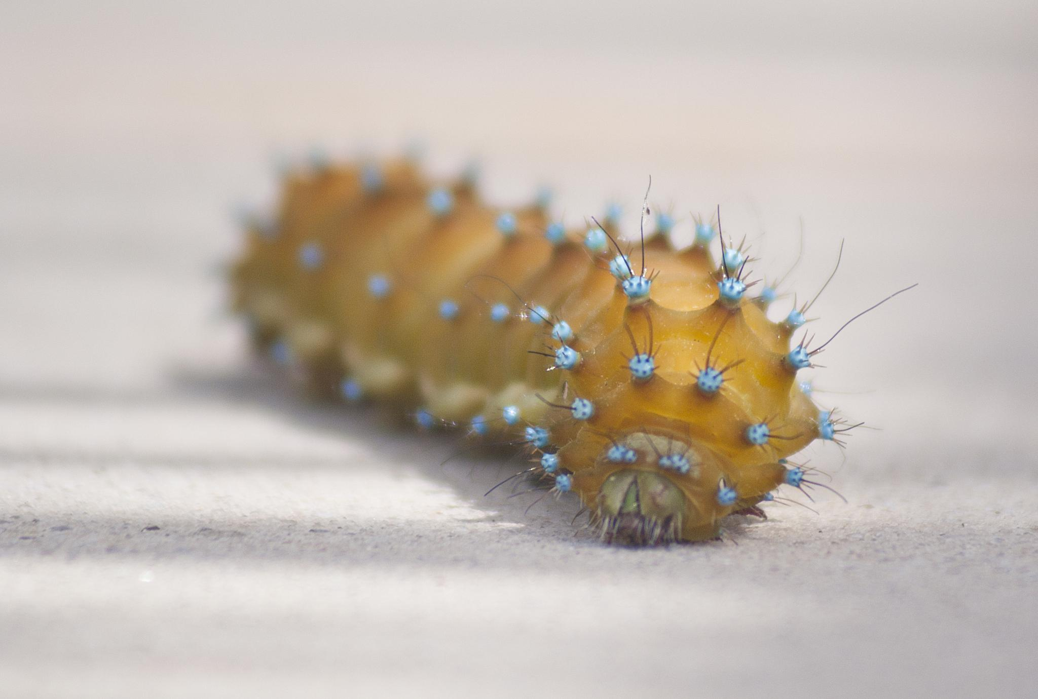 Giant Peacock Moth caterpillar by Tom Didden