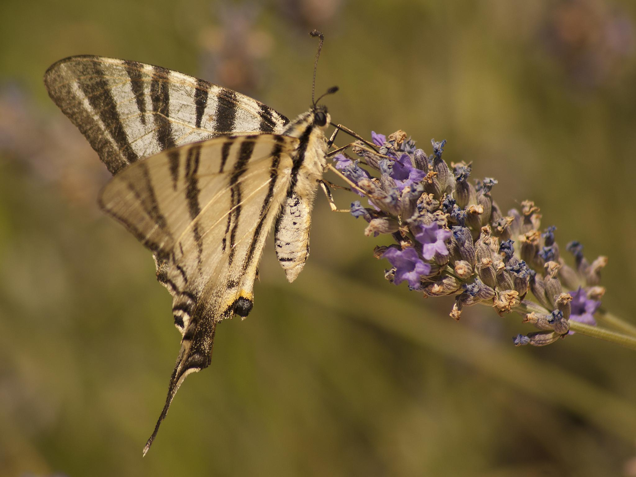 Scarce Swallowtail by Tom Didden