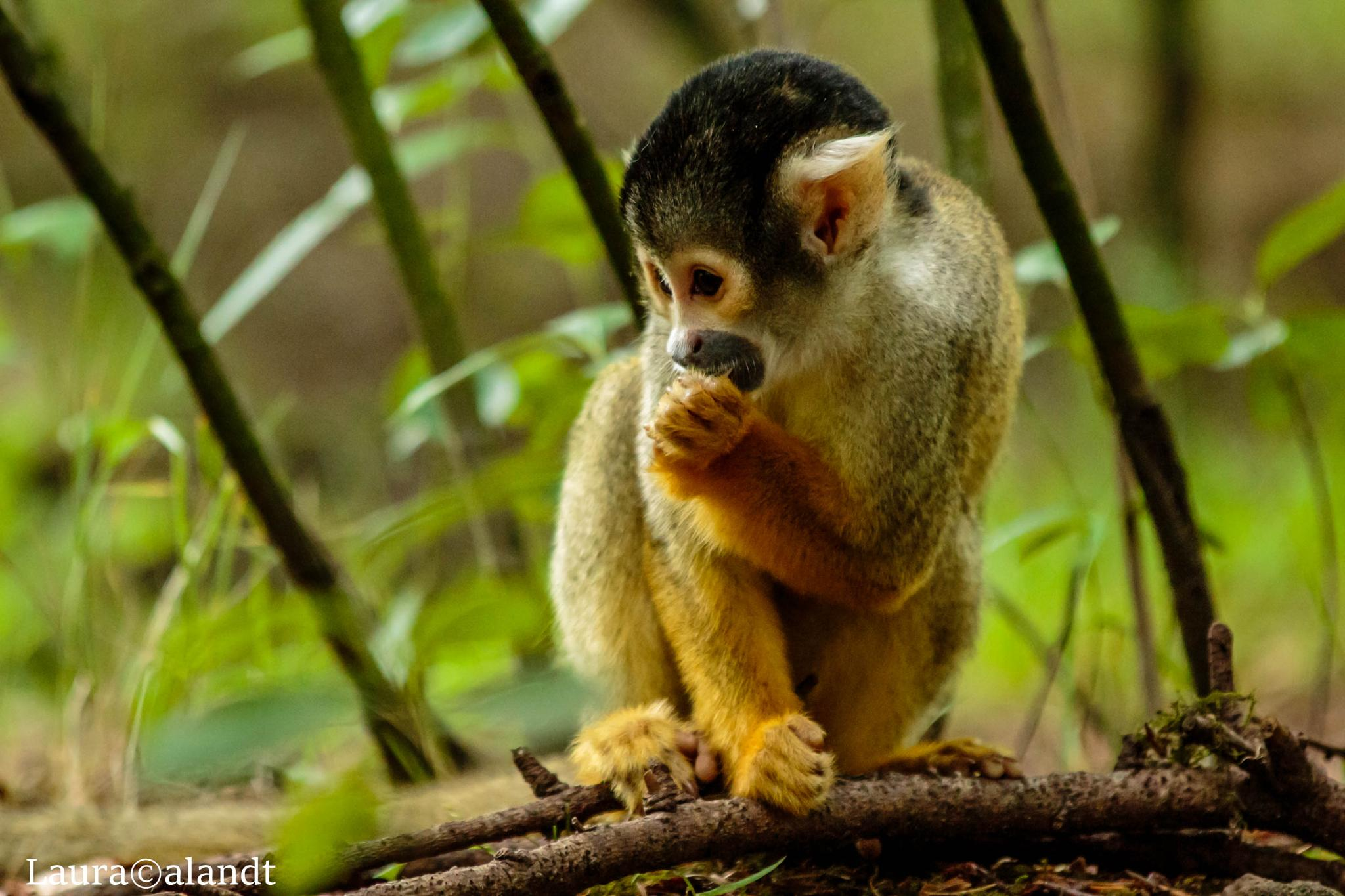eating monkey by Laura Calandt