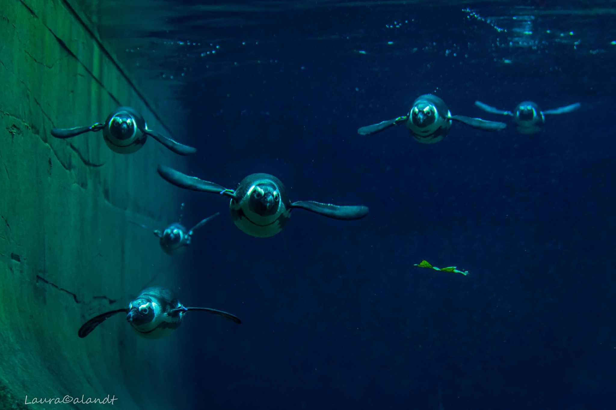 Swimming pinguins by Laura Calandt