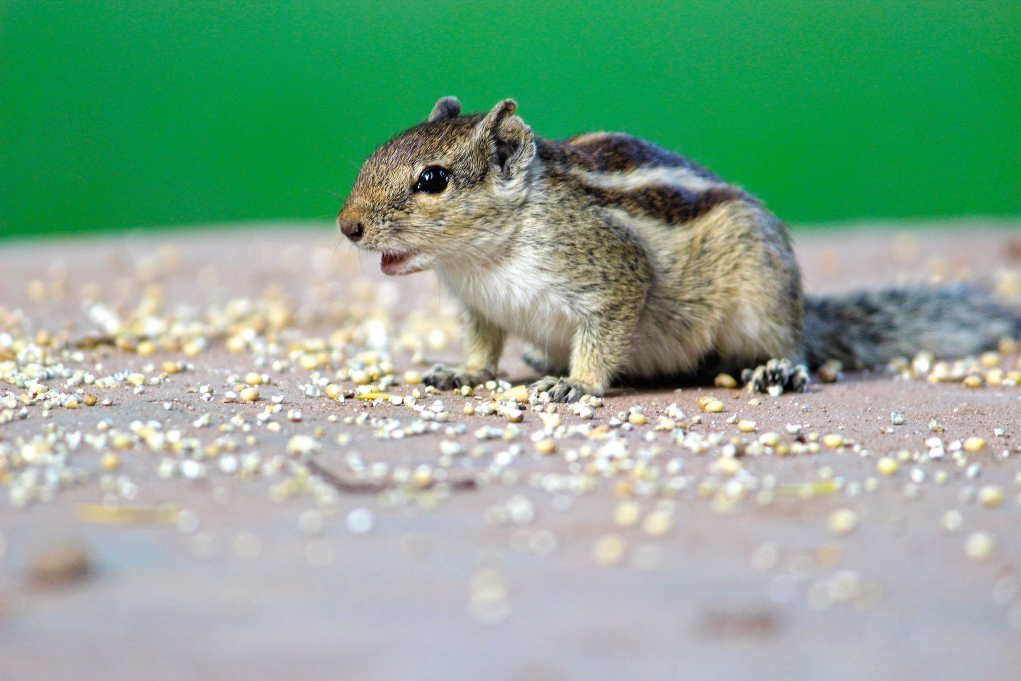 Squirrel in Action by Suprit