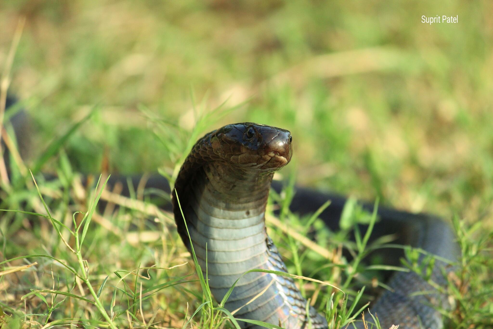 Cobra by Suprit