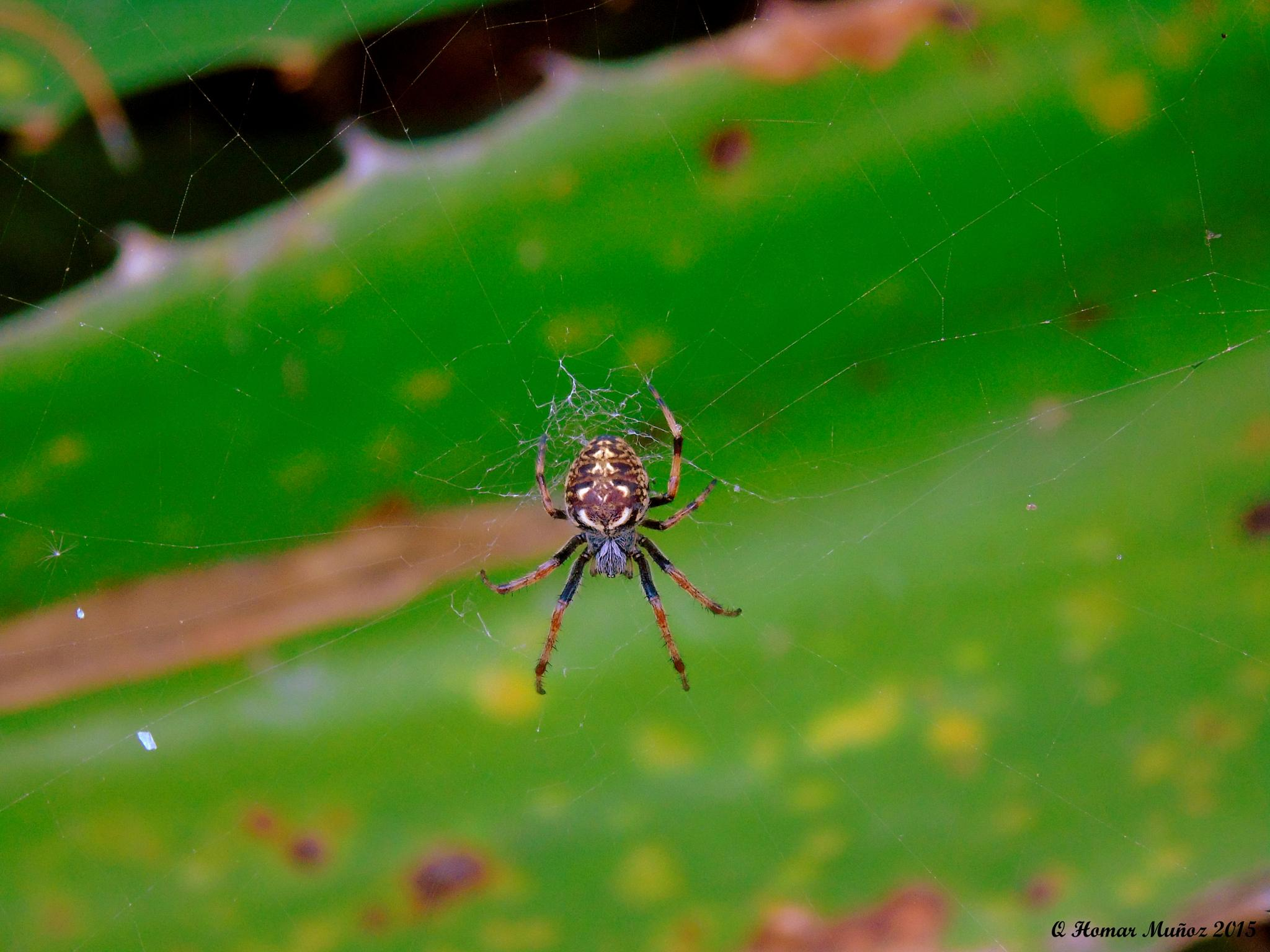 Spider by HomPhoto