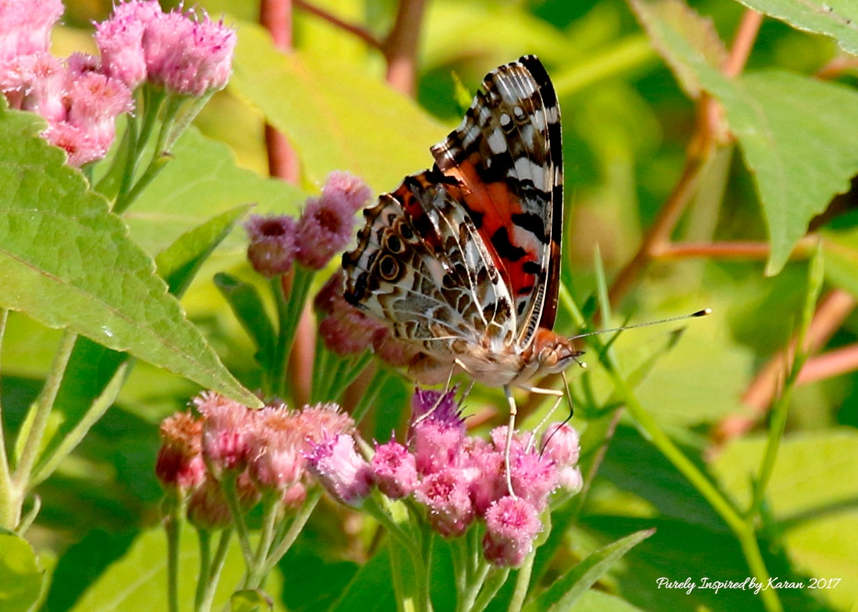 Under wings of the Common Buckeye Butterfly by Purely Inspired by Karan
