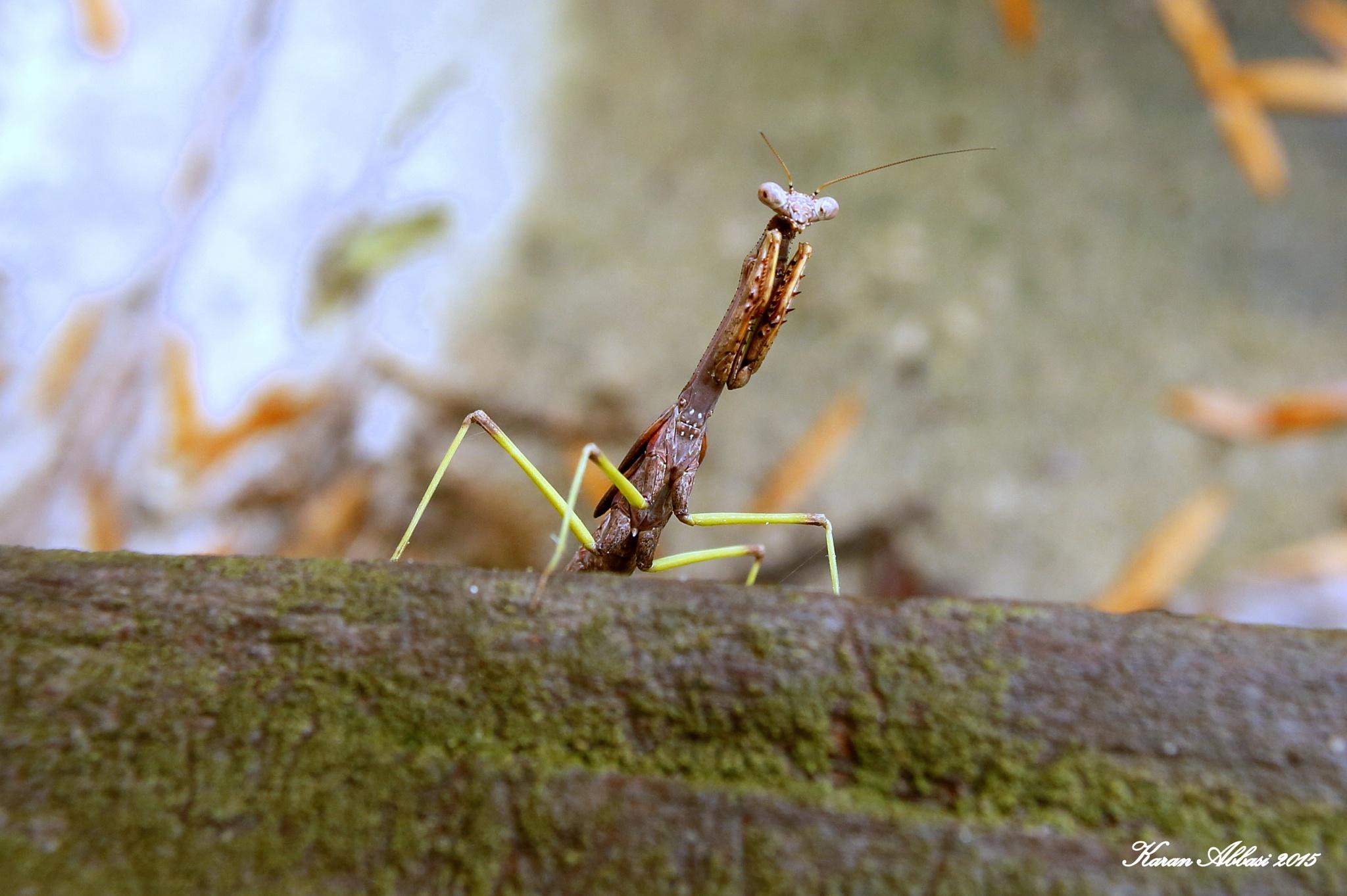 Brown Praying Mantis I by Purely Inspired by Karan