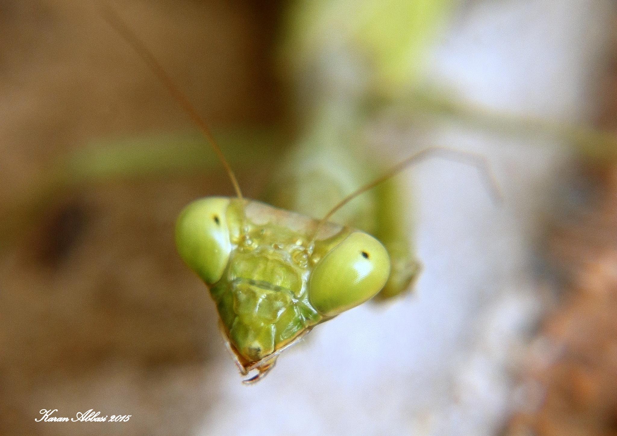 Green  Praying Mantis I by Purely Inspired by Karan
