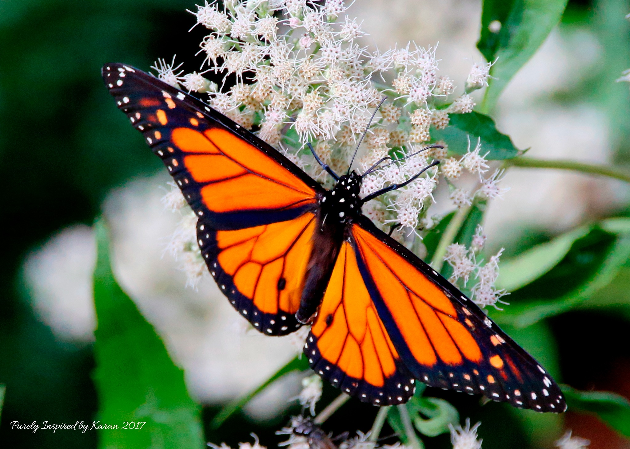 Monarch Butterfly on Baby's Breath by Purely Inspired by Karan