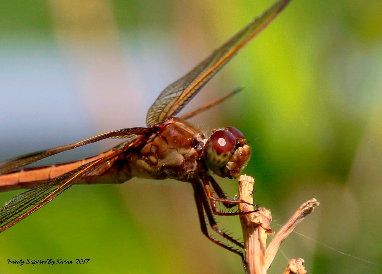 Female Needham's Skimmers Dragonfly by Purely Inspired by Karan