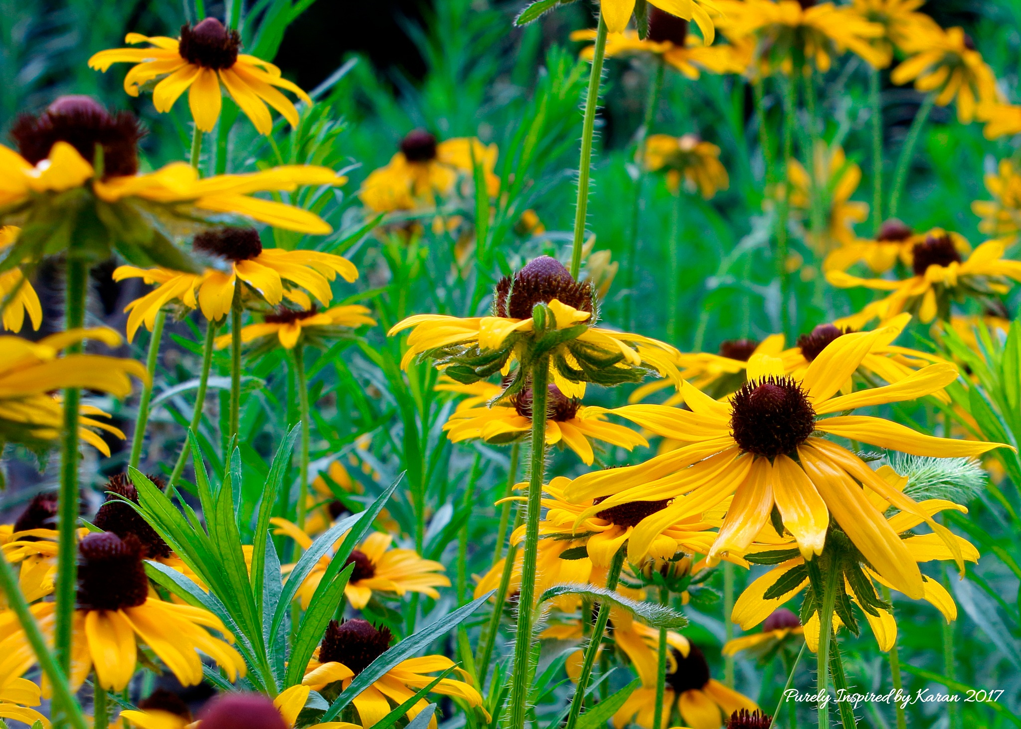 Field of Black Eyed Susans by Purely Inspired by Karan