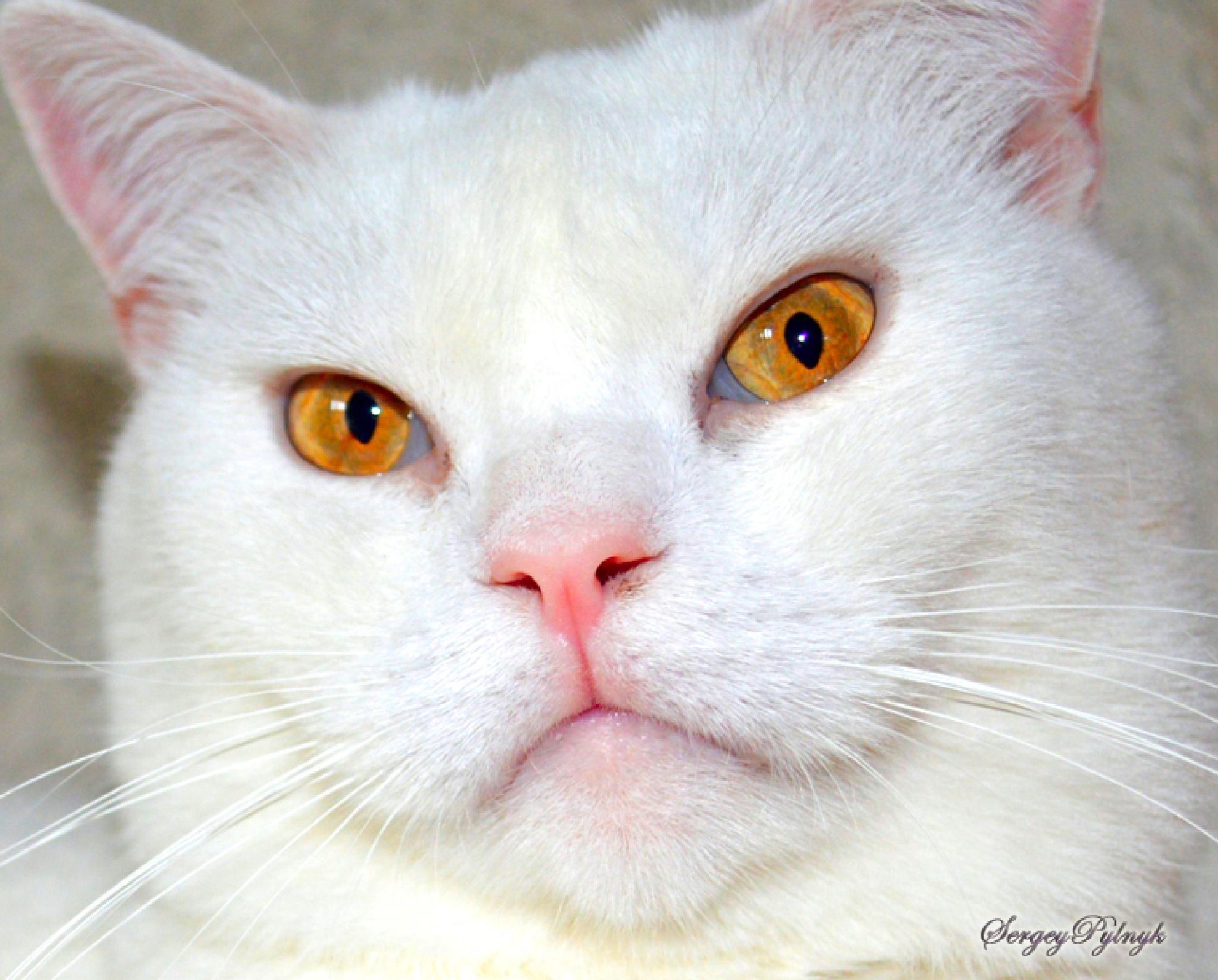 "My cat ""Marquis"" by Sergey Pylnyk"