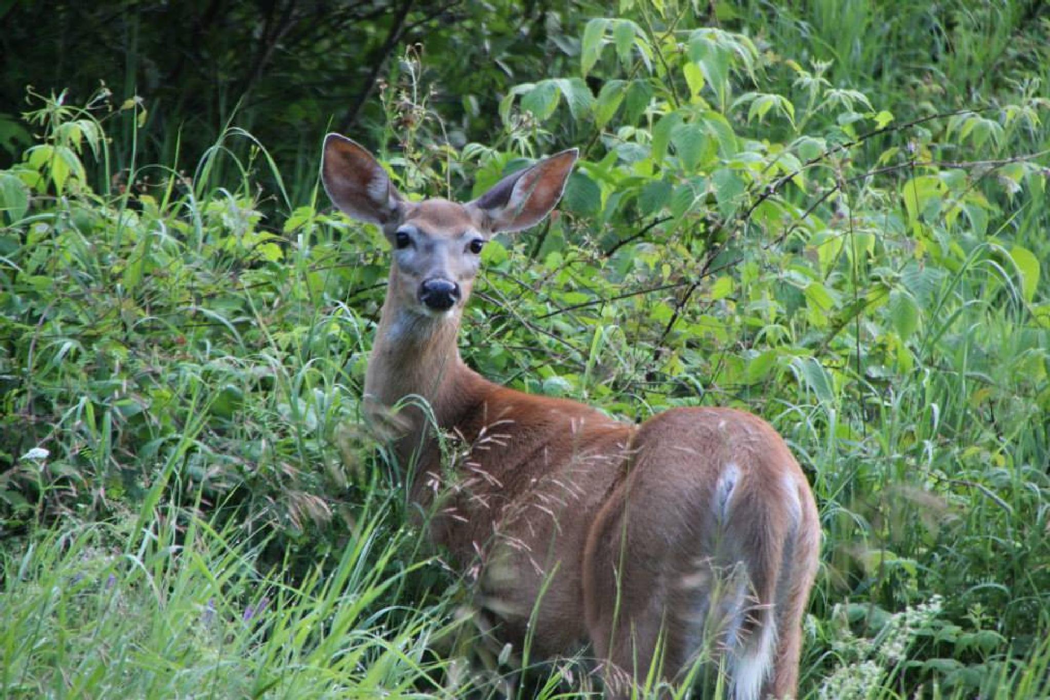 morning deer  by genehamelin