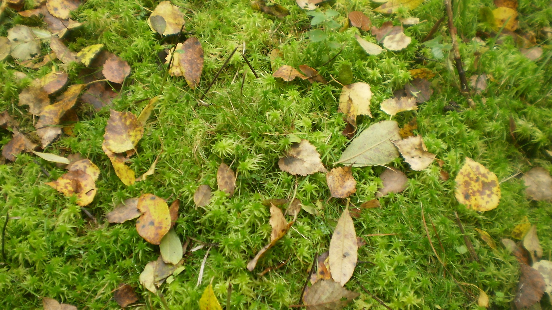 Moss gathers leafs in autumn by john patterson