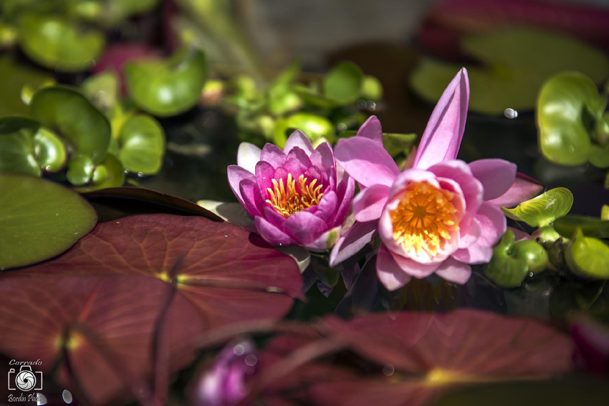 Water Lily by corradobordin