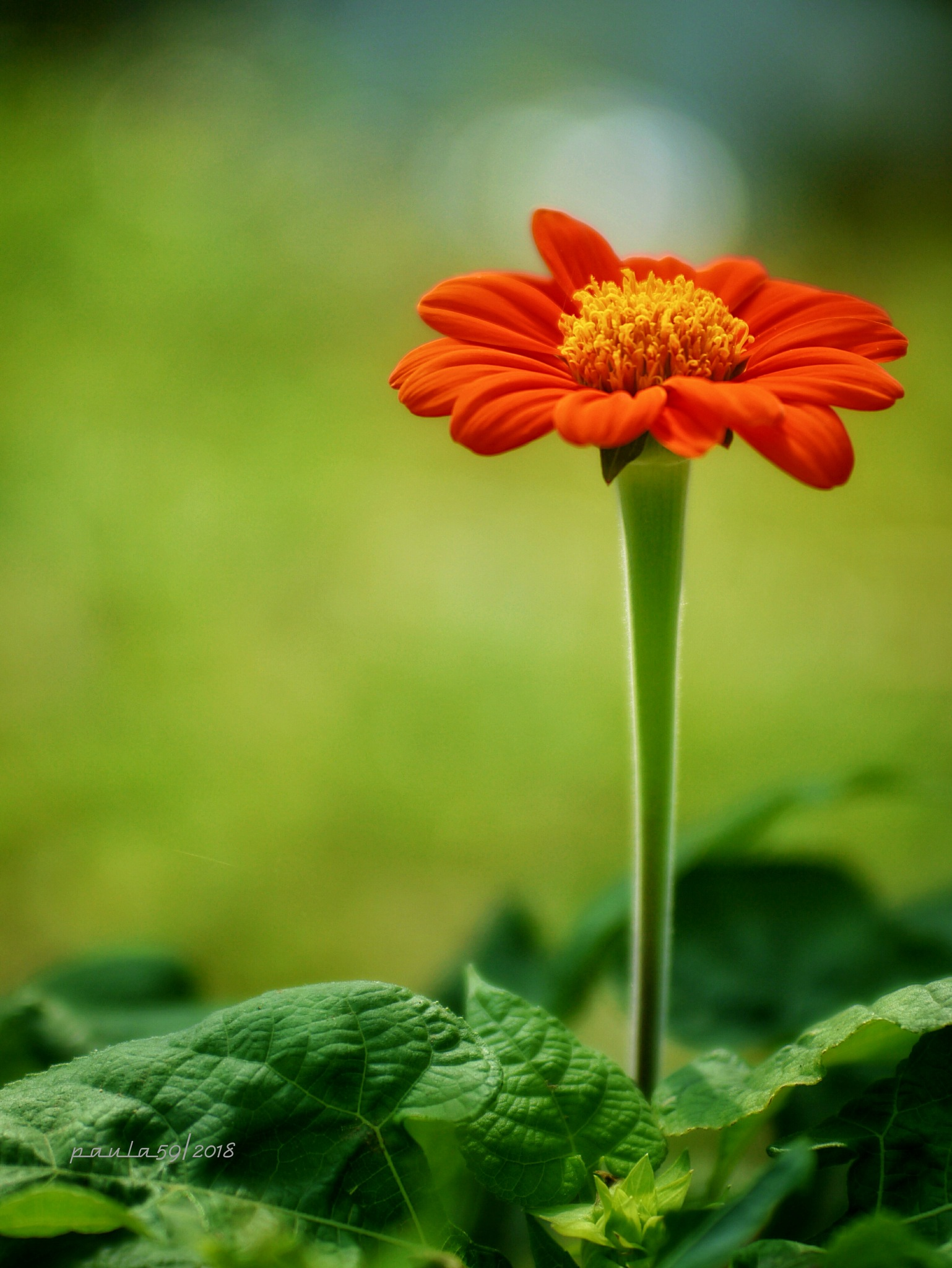 Mexican Sunflower  by agraviadorpaul