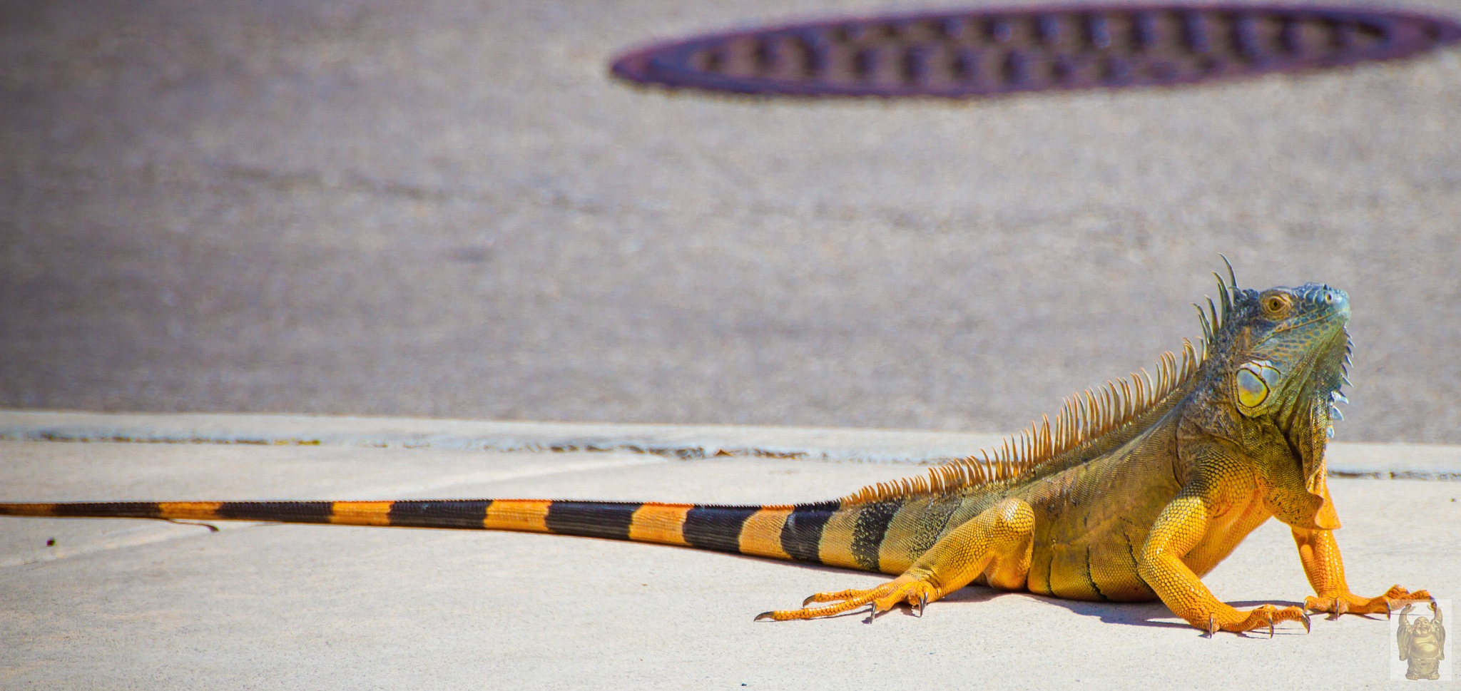 Young Iguana, checking me out by Gary Franklin