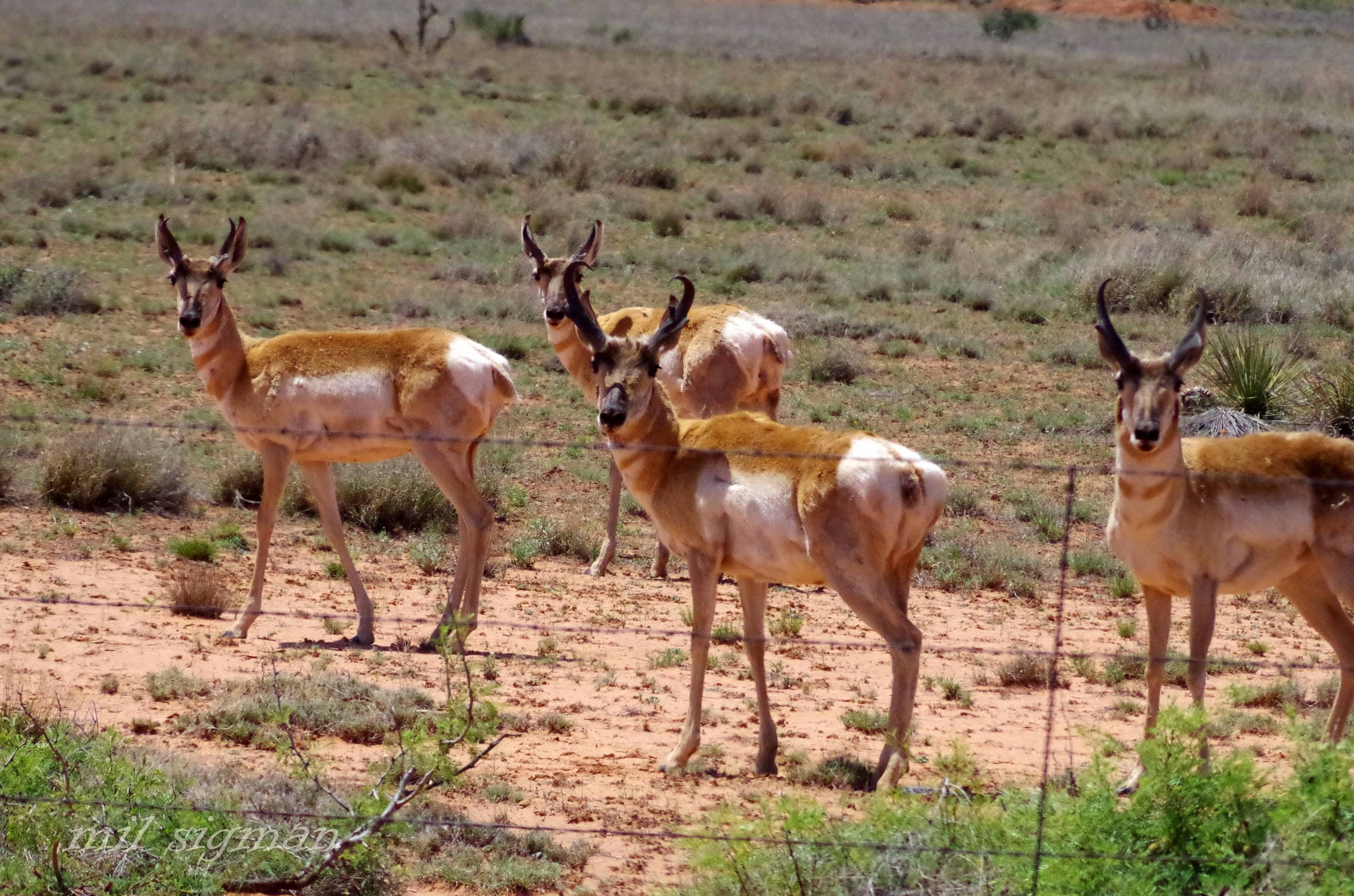 Pronghorn antelope  by milled98
