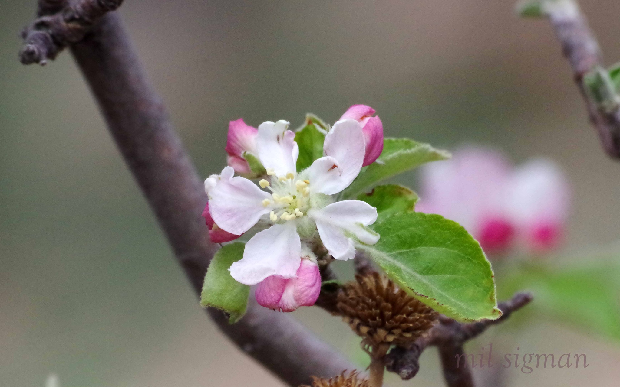 apple blossoms by milled98