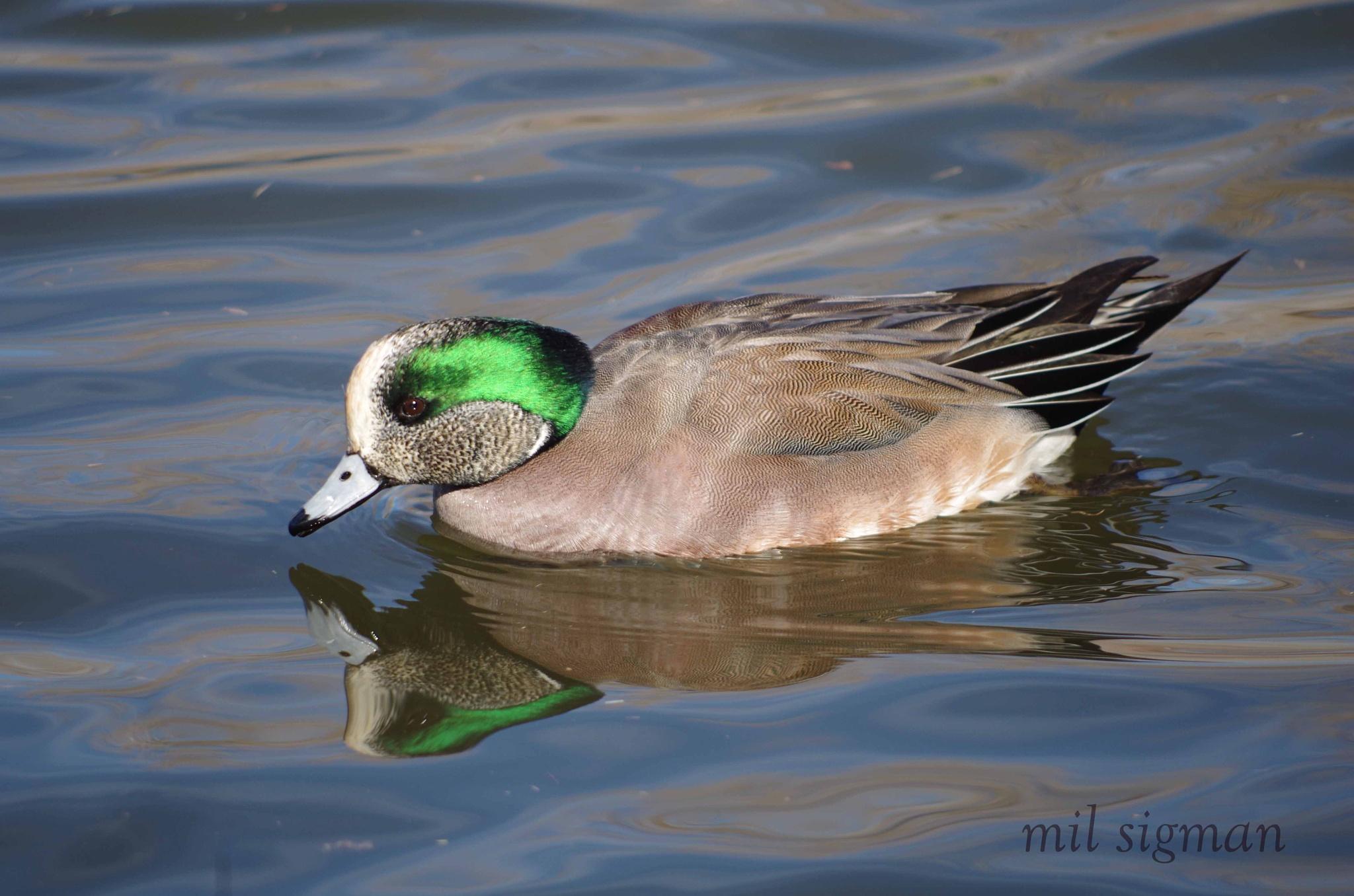 Mallard Duck by milled98