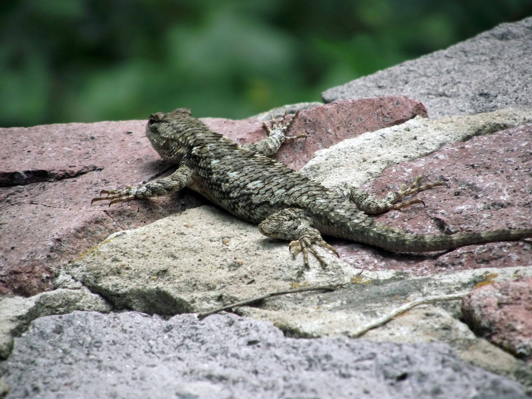 desert spiny lizard  by milled98