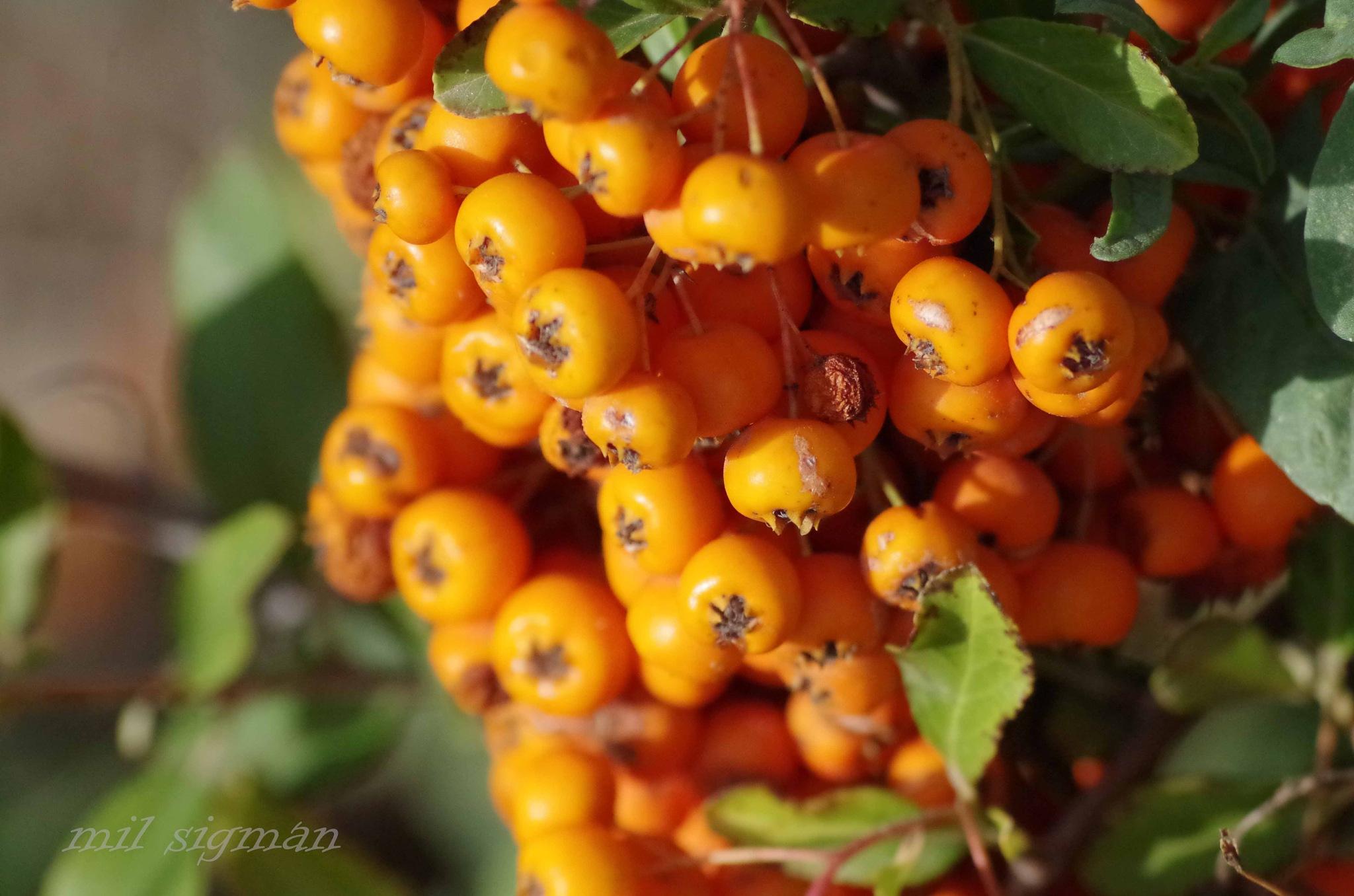 Fall orange berries by milled98