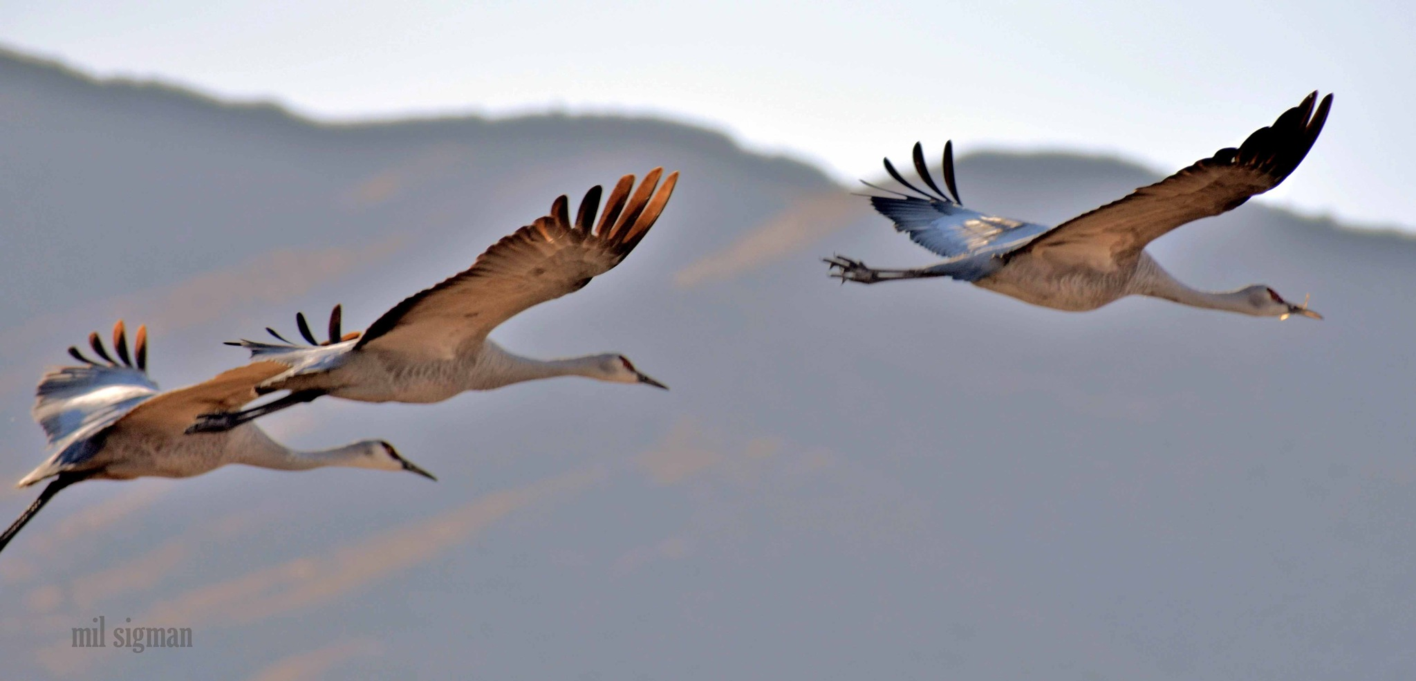Migrating sandhill cranes  by milled98