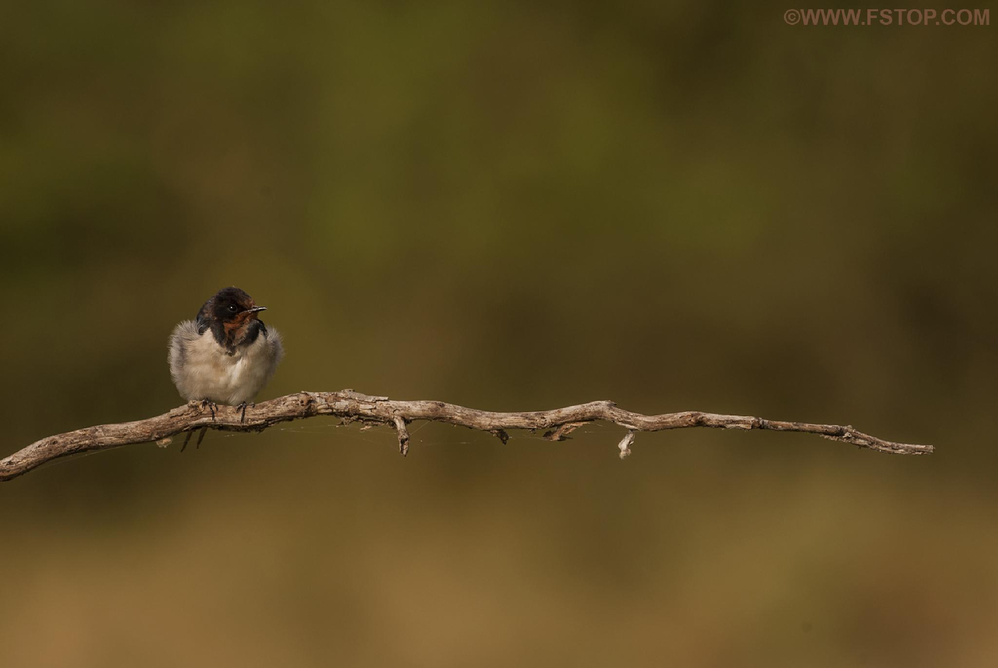 Barn Swallow by Ravi Shankar