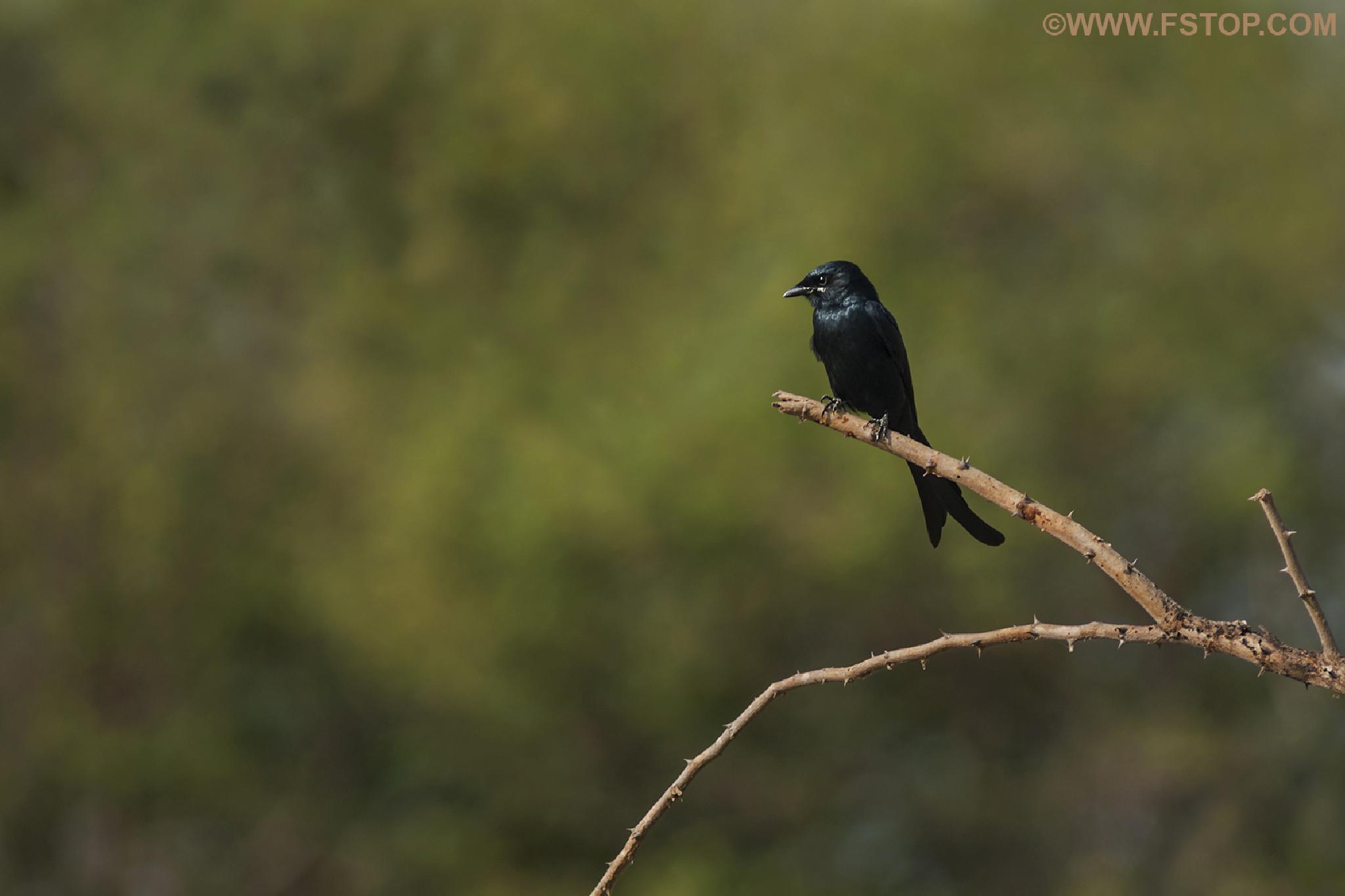 Black drongo (Dicrurus macrocosms) by Ravi Shankar