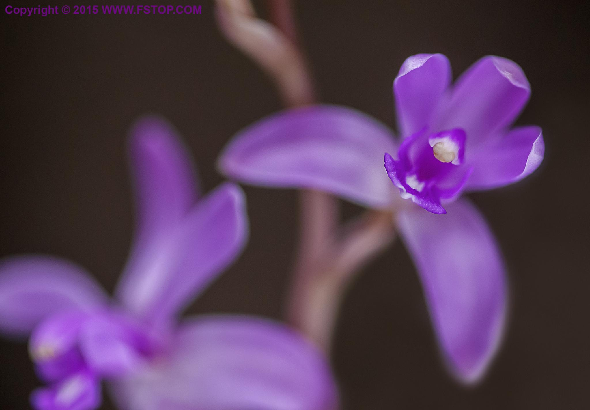Hexalectris grandiflora by Ravi Shankar