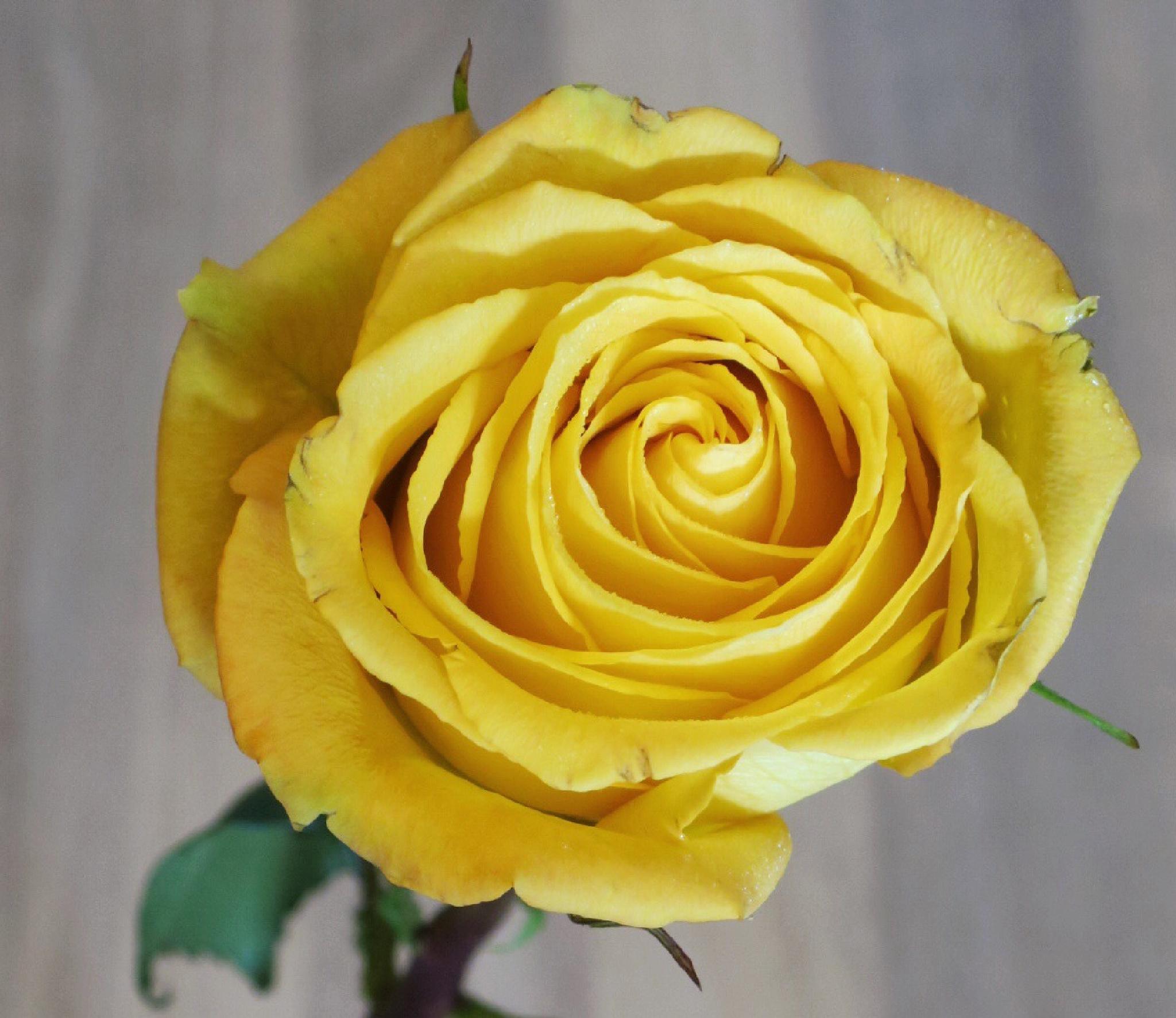 Yellow Rose II by Adi Gli
