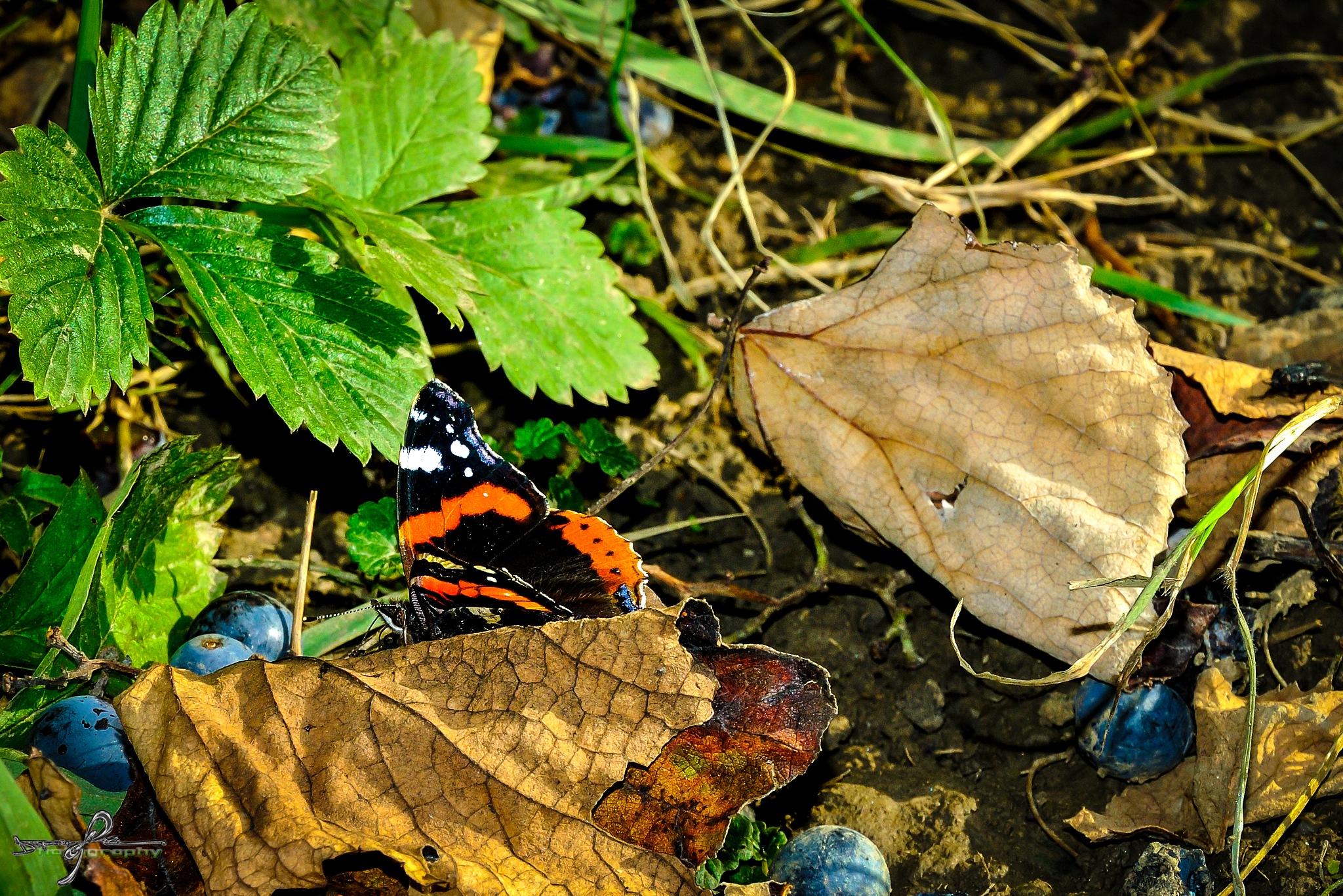 last game of butterflies(autumn) by Robert
