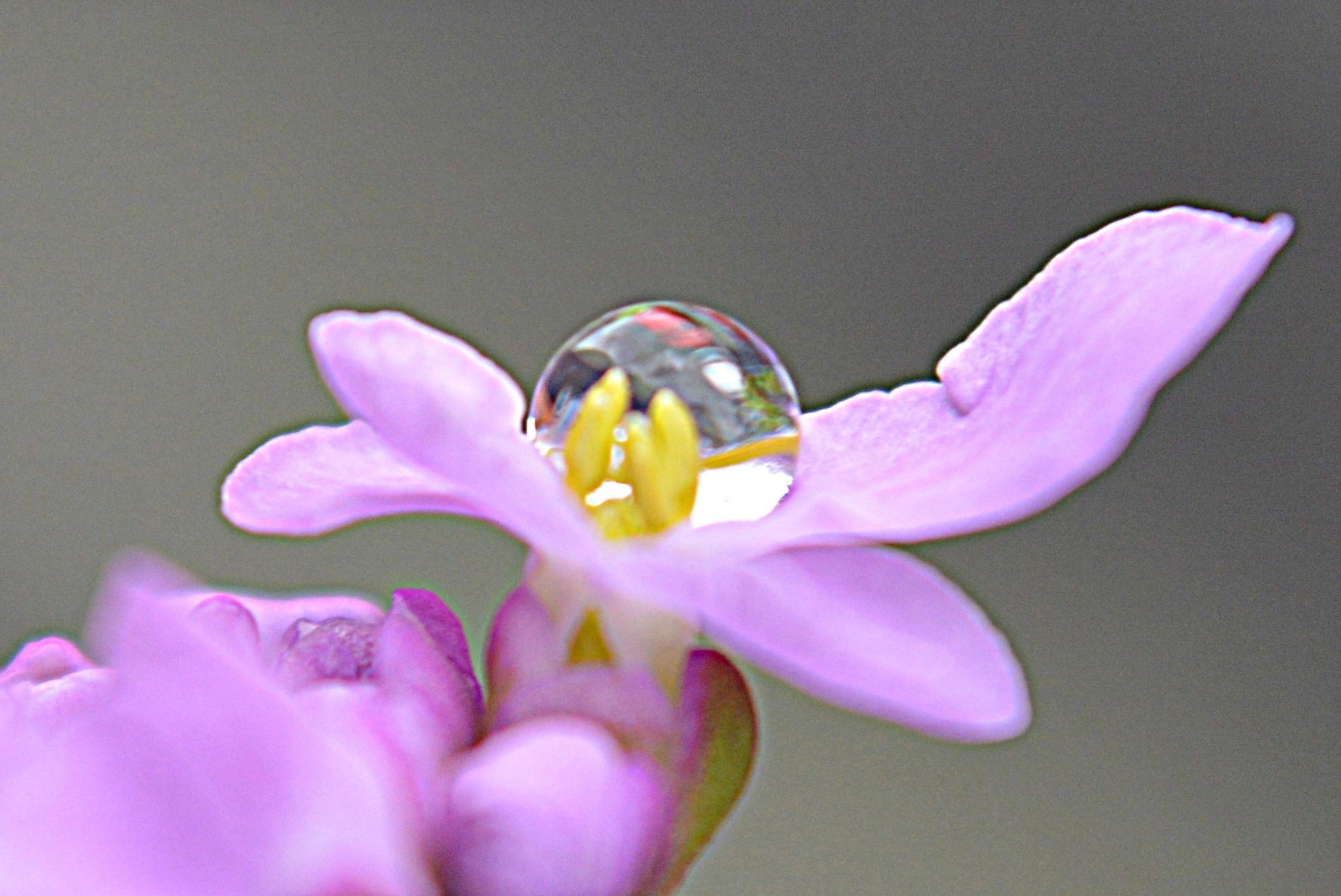 Water drop on flower petal by Luc Vansilliette