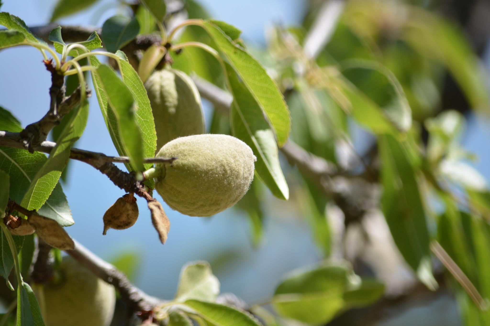 Almond almost ready for the frangipane :) by Luc Vansilliette