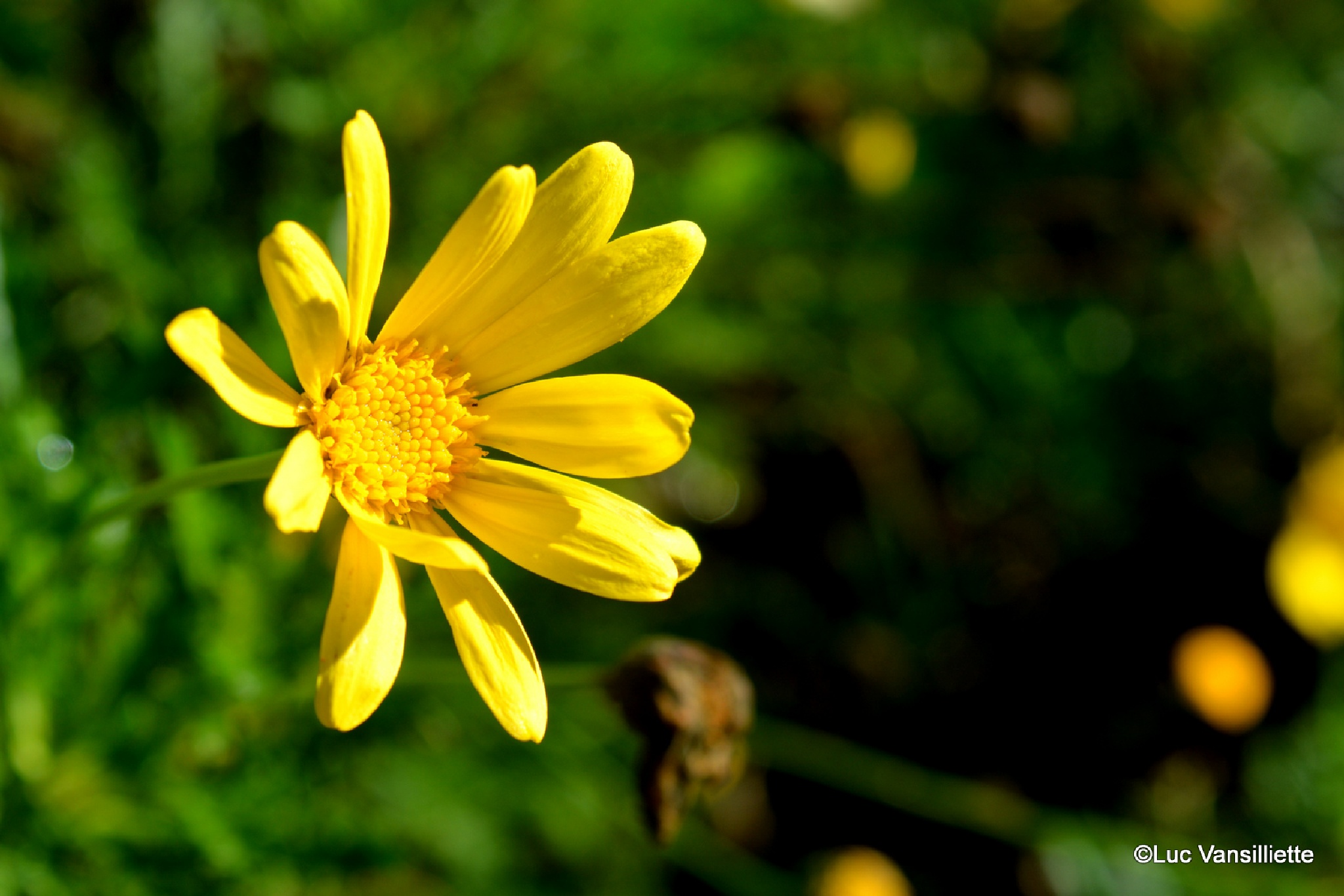 A little flower in the sun to brighten up a gloomy autumn evening by Luc Vansilliette