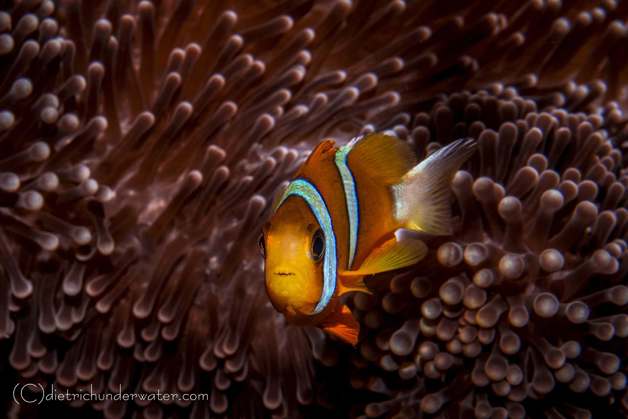 Photo in Underwater #clown fish #fish #ocean photography #underwater photography #ocean art #australia