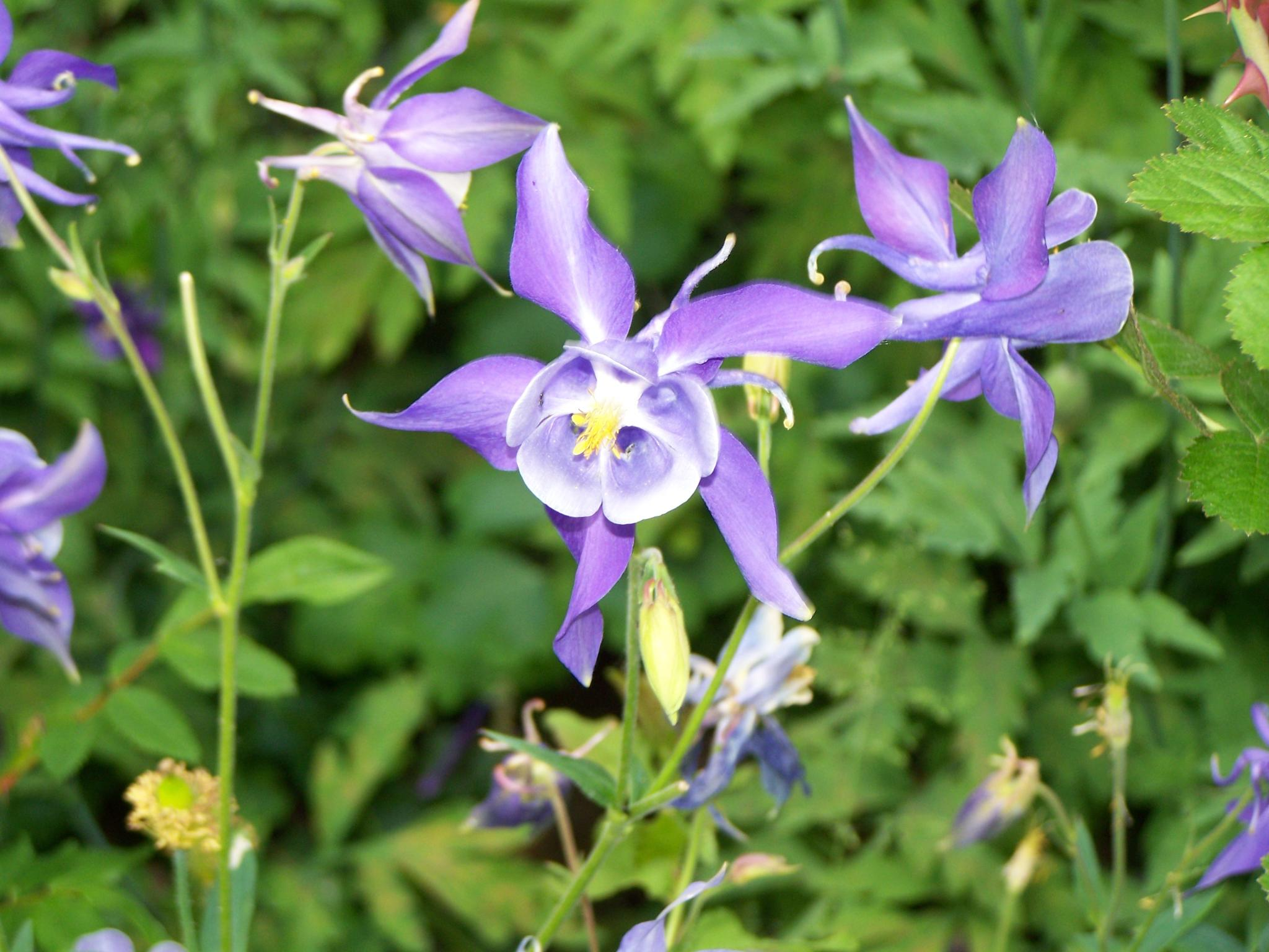 Wonderful columbine by Norbert Reiss
