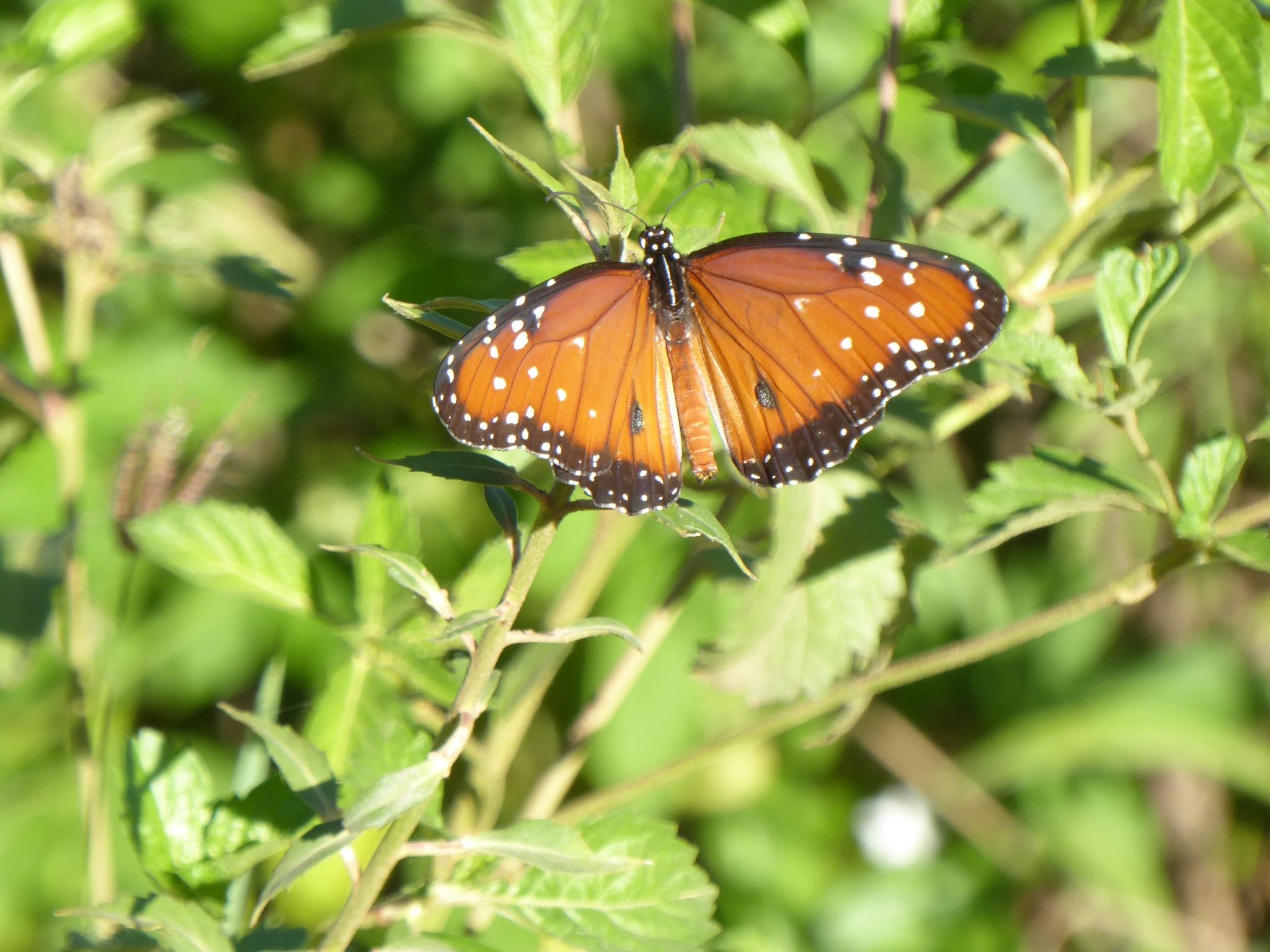 Brazilian butterfly by Norbert Reiss